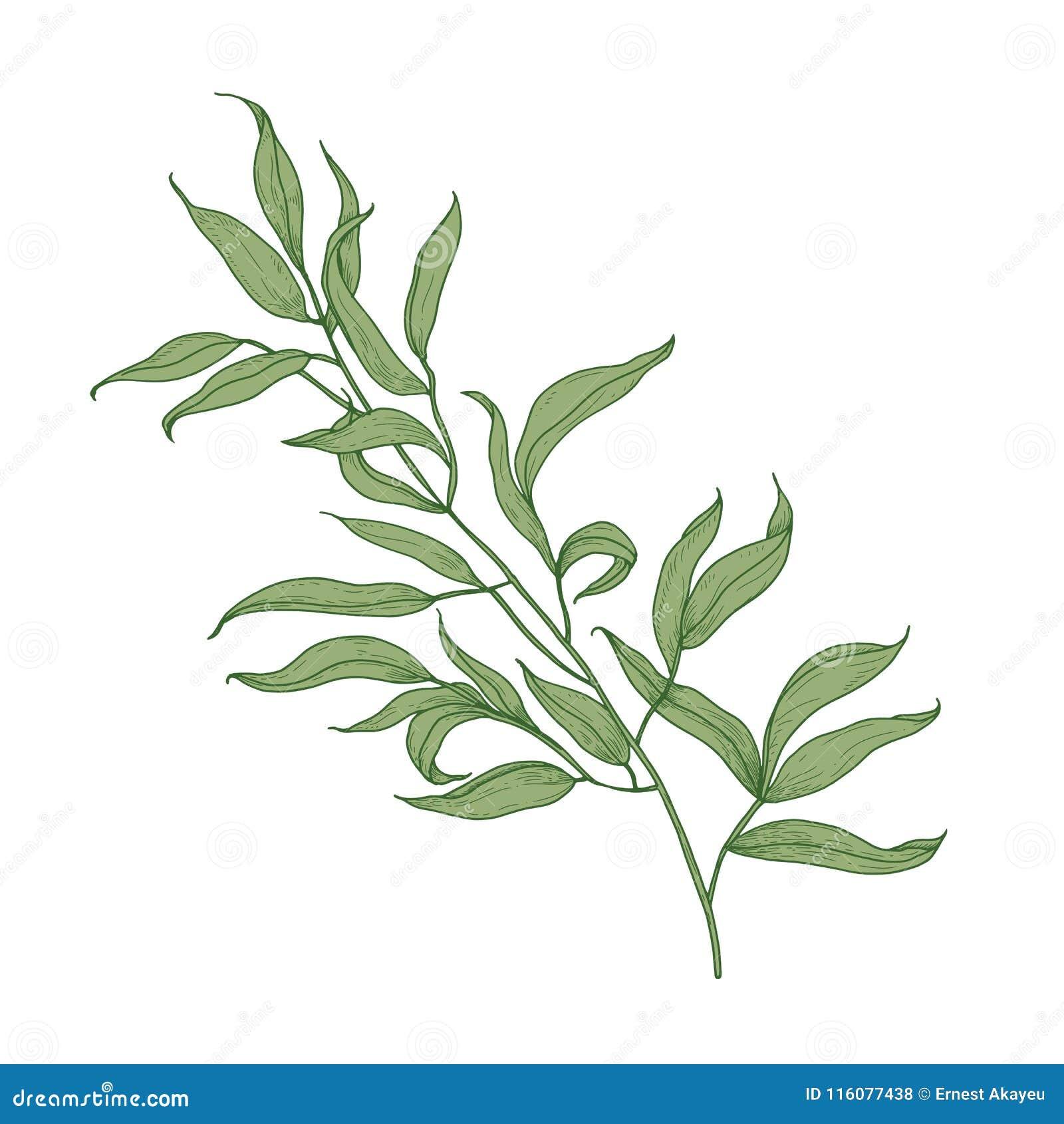la branche d'eucalyptus avec le vert laisse tiré par la main sur le