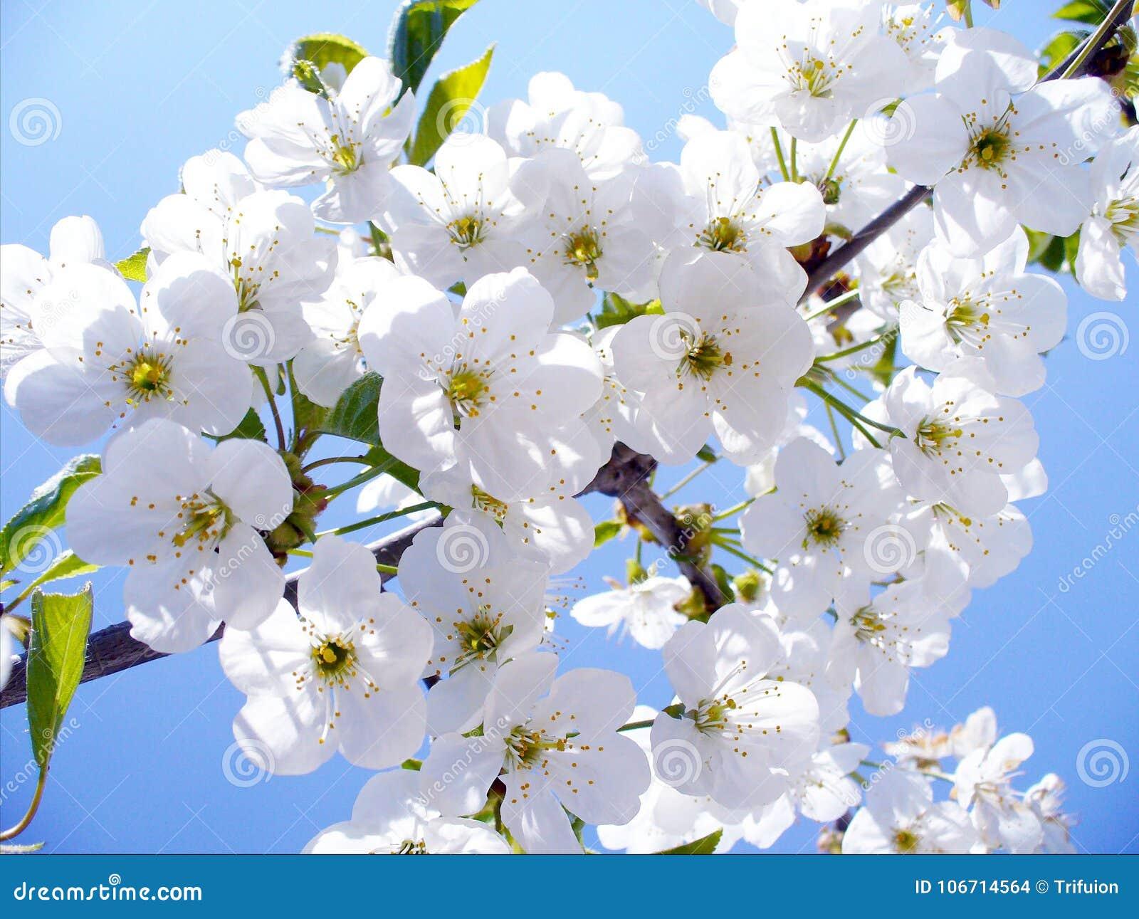 La branche de cerise de fleur, beau ressort fleurit pour le fond