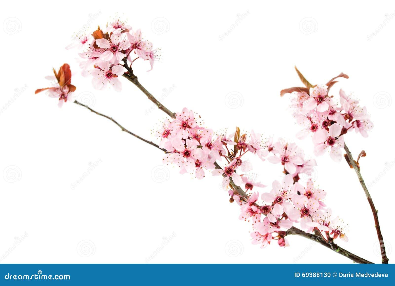 La branche du cerisier de floraison, Sakura a isolé sur le fond blanc