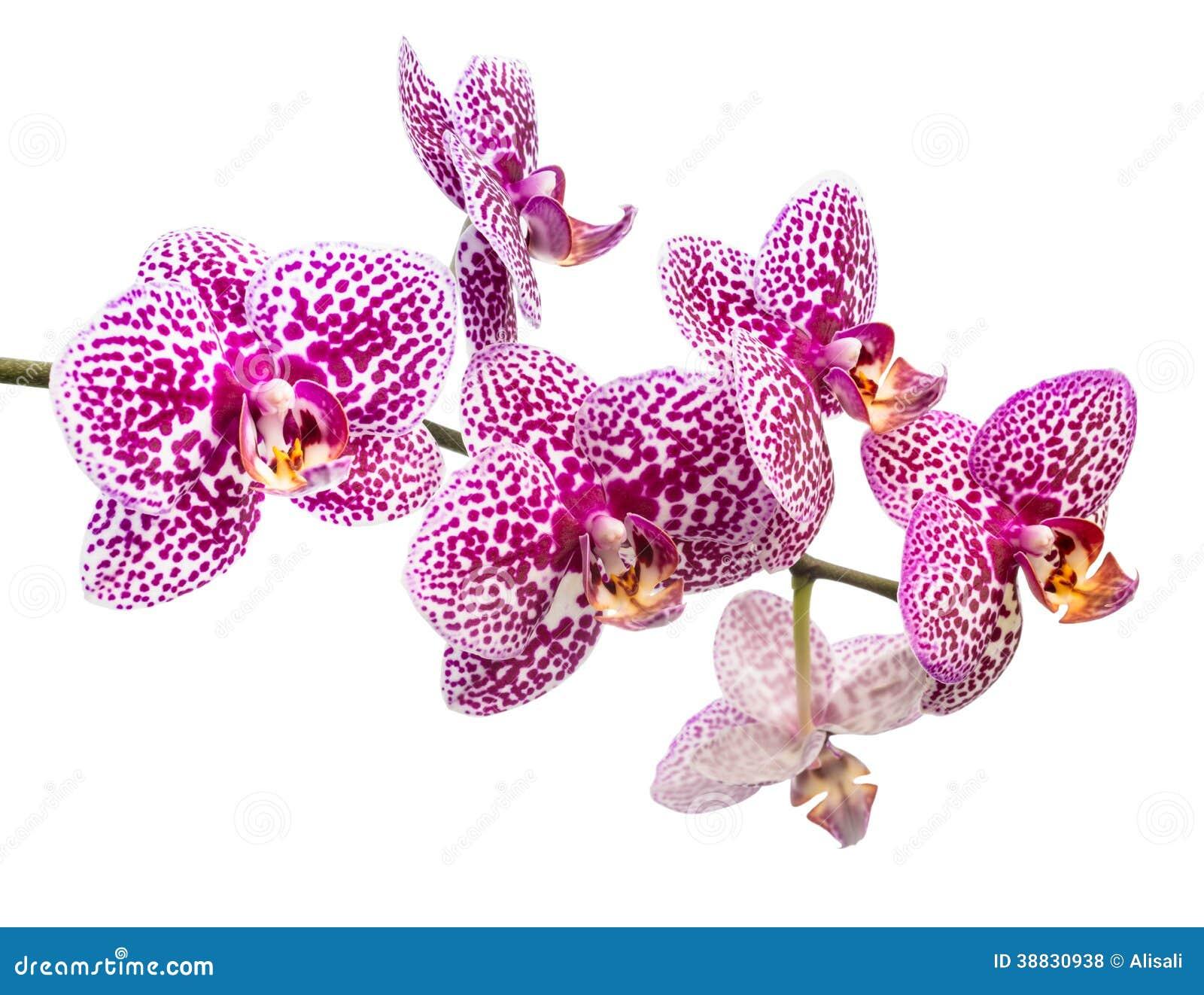 La branche fra che de l 39 orchid e tachet e lilas est isol e photo stock image 38830938 - Symbole de l orchidee ...