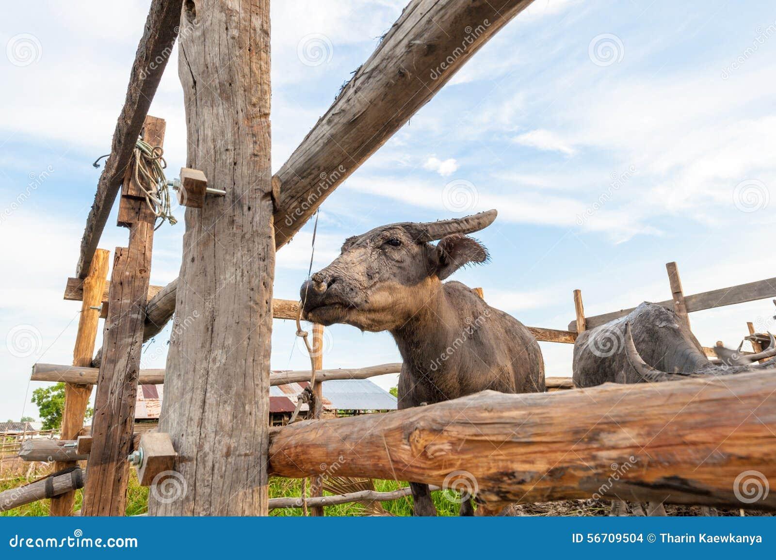 La Buffalo dentro cattlepen