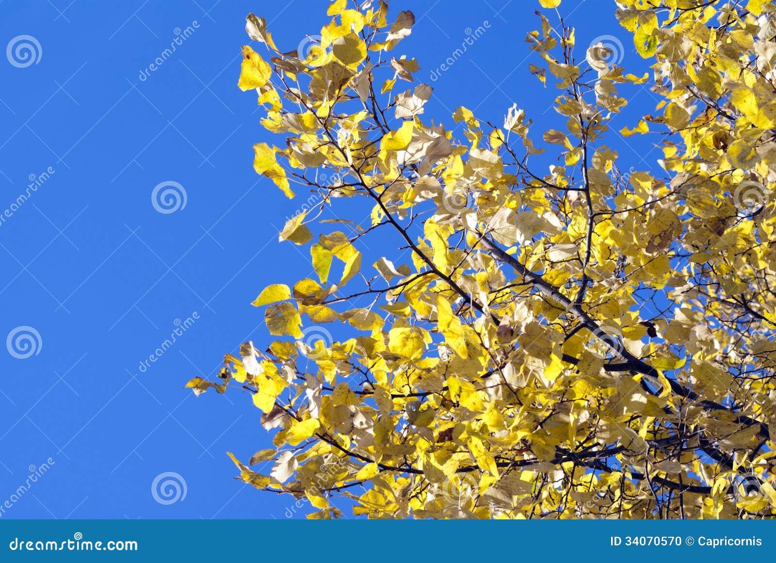 La Caída Colorea Las Hojas Amarillas De Oro Del árbol De Hoja Caduca ...