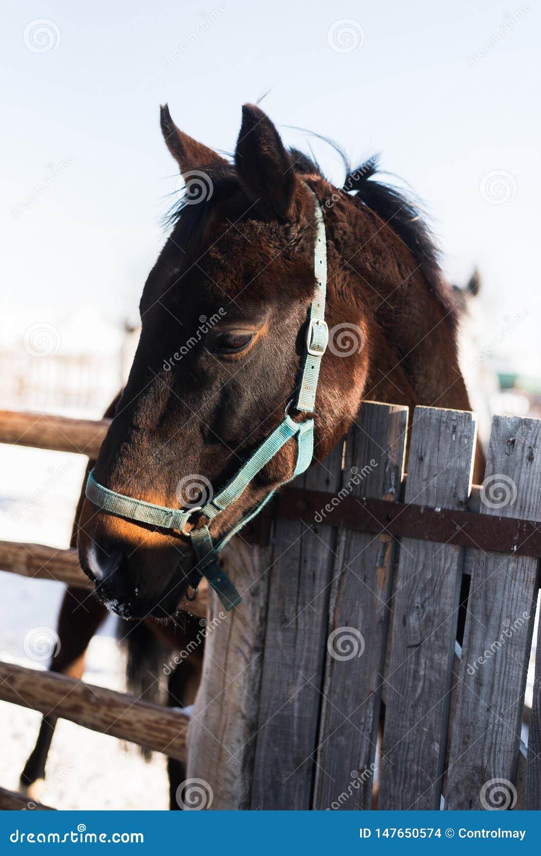 La cabeza de caballo mira hacia fuera de detr?s una cerca de madera