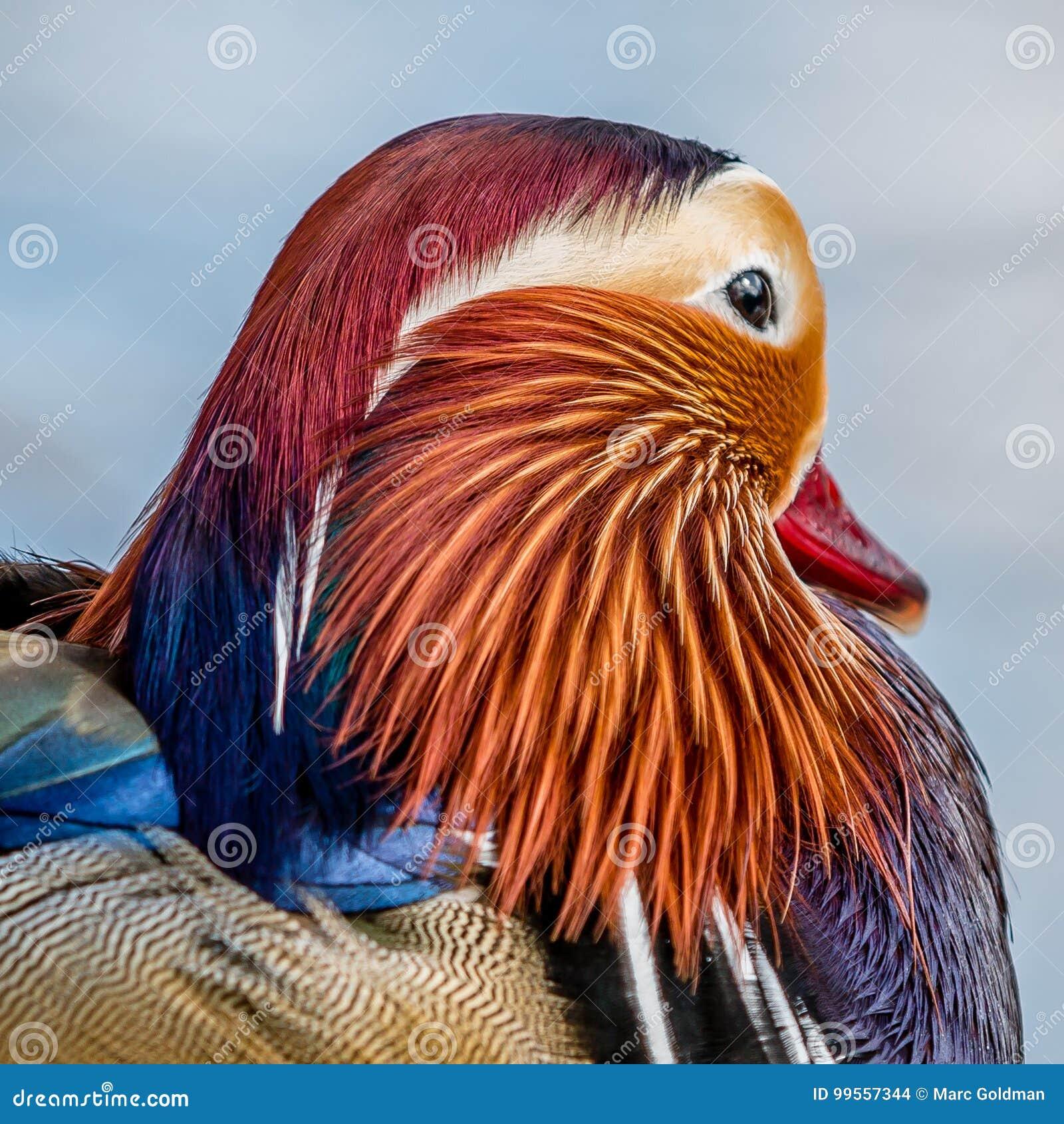La cabeza de un pato de mandarín