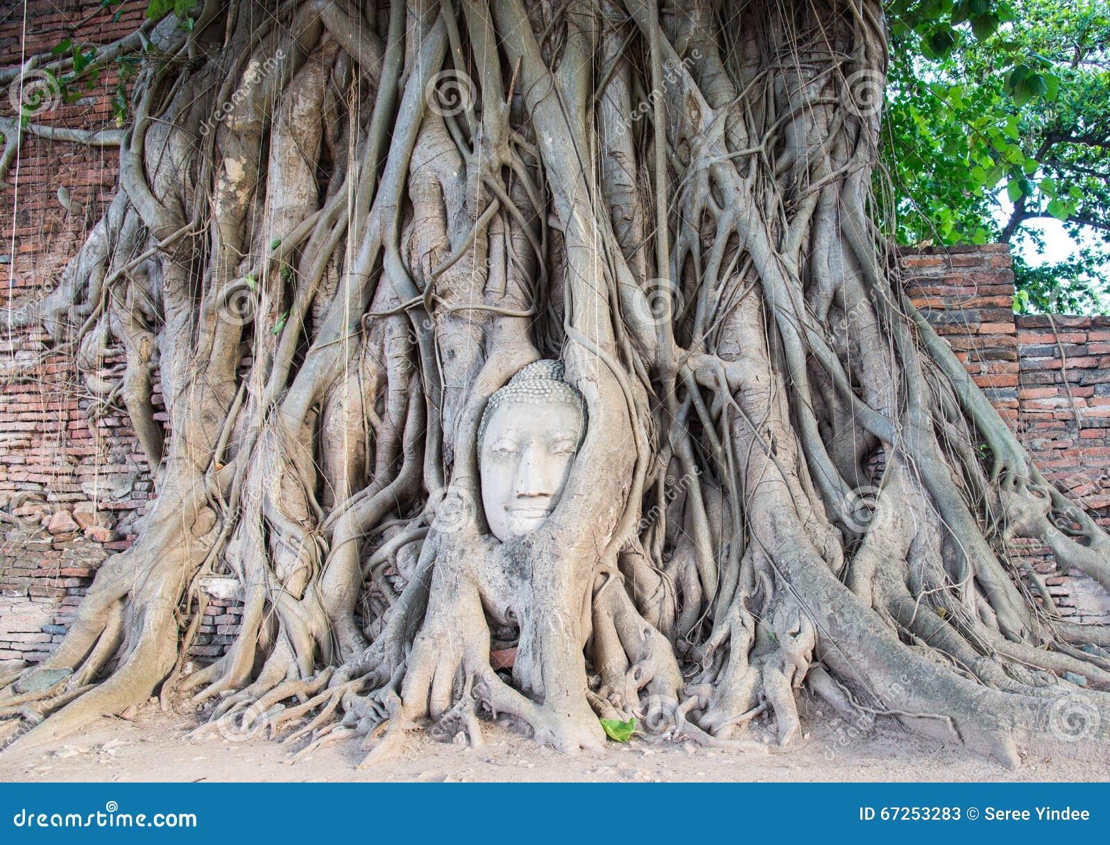 La cabeza del Buda del punto culminante en árbol en Tailandia