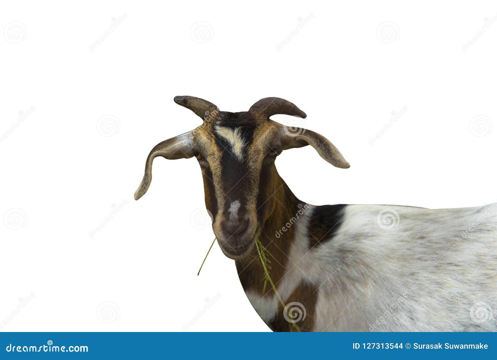 La cabra come en el contexto blanco usado para organizar elementos