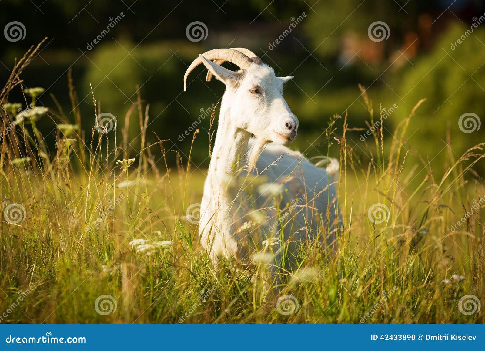 La cabra de cuernos blanca pastó en un prado verde