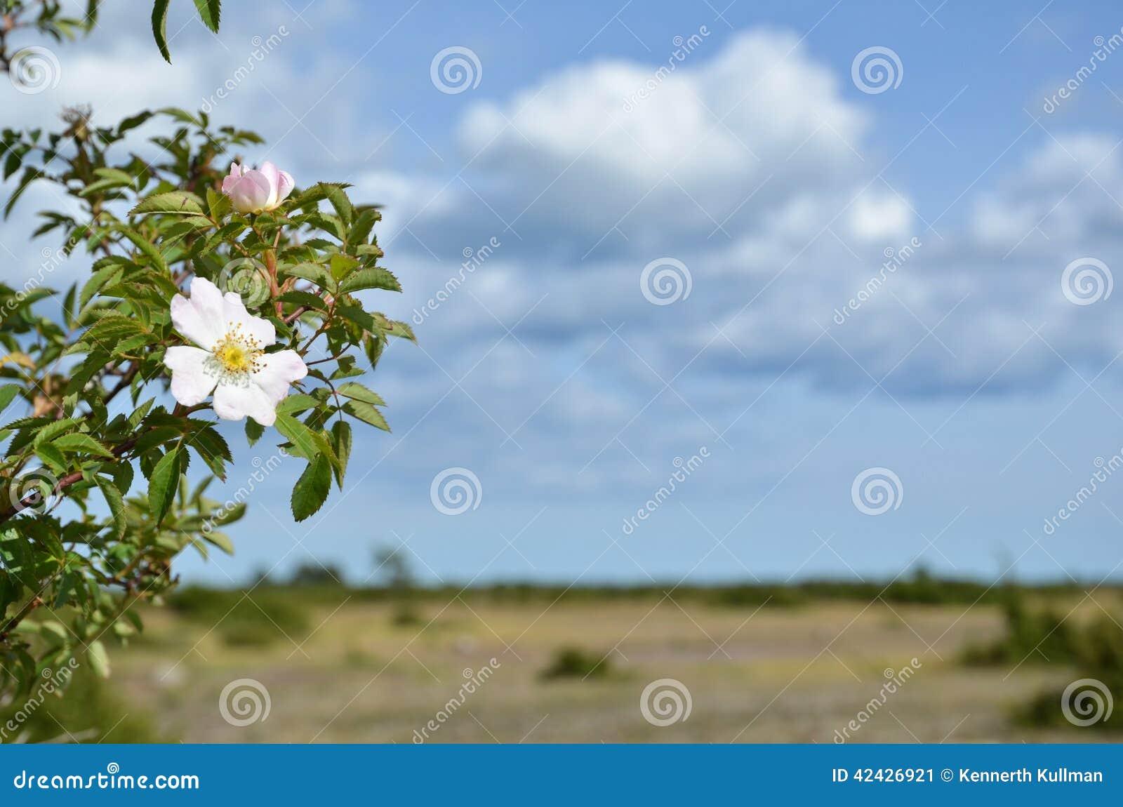La cadera salvaje del flor subió