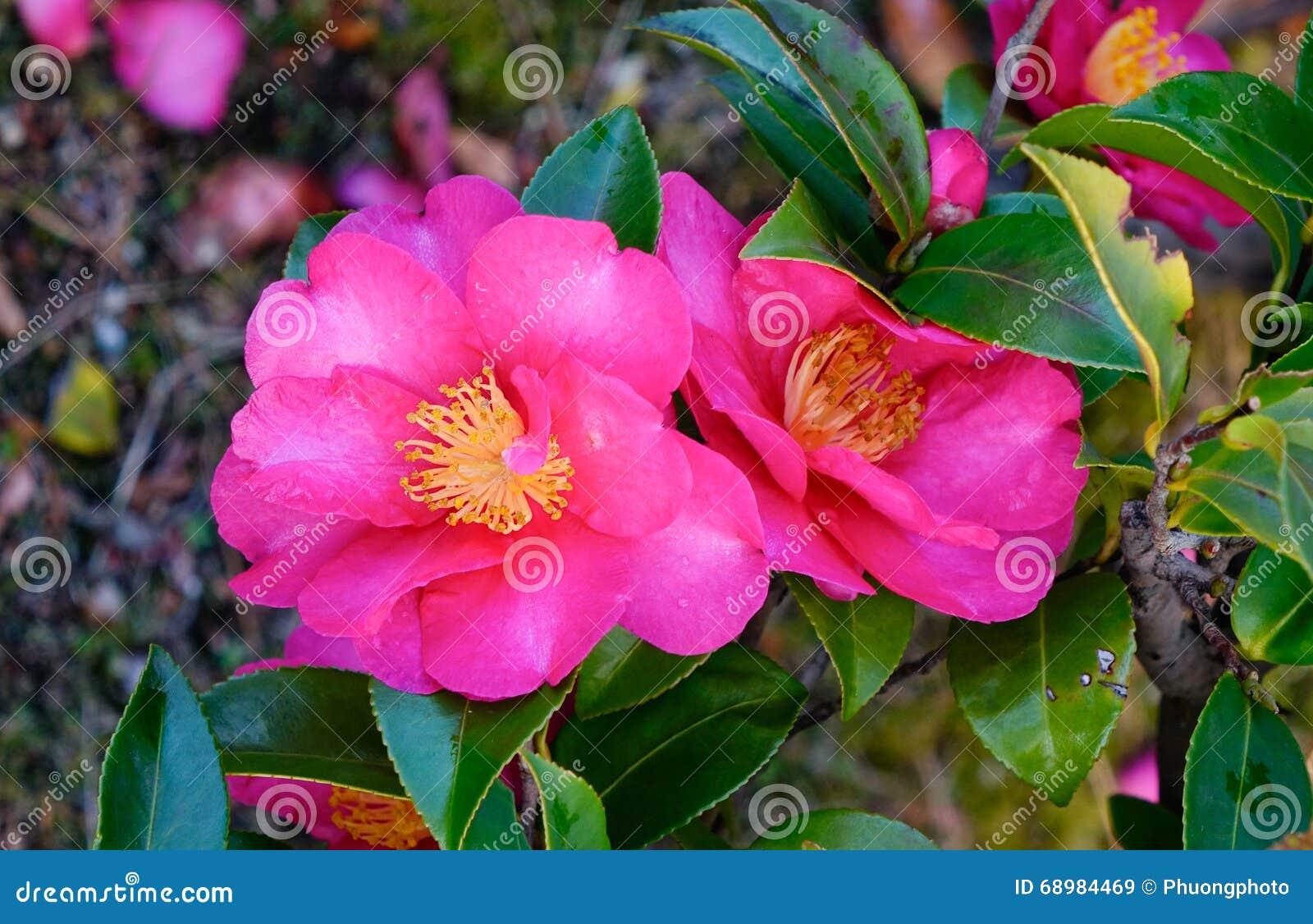 La camelia rosada florece la floración en el jardín en Nikko