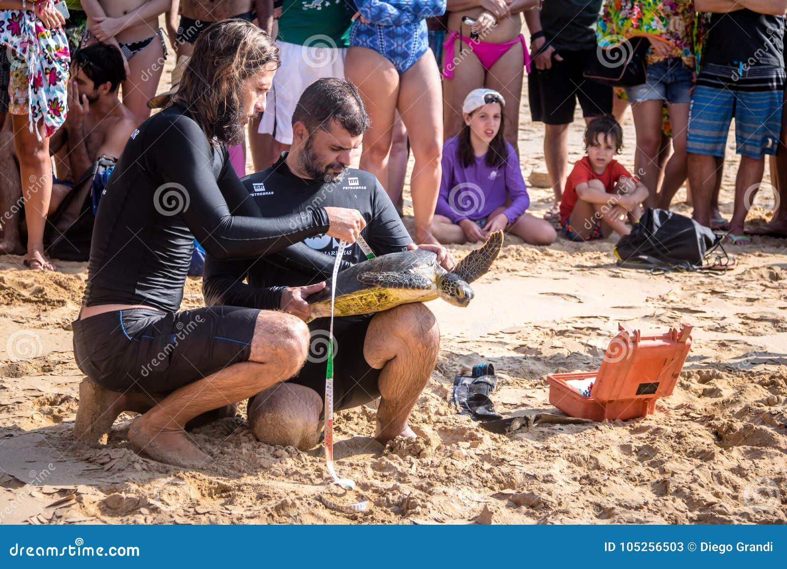 La captura científica de las tortugas de mar de Tamar Project Projeto Tamar en el Praia hace la playa de Boldro - Fernando de Nor