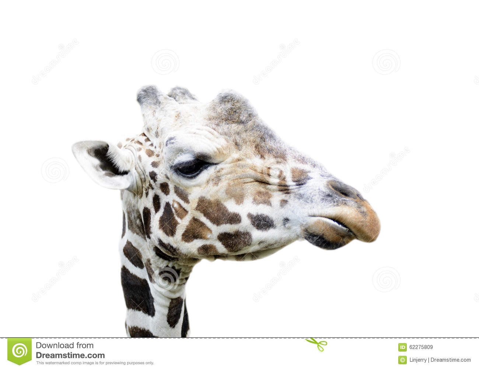 La cara de la jirafa aislada
