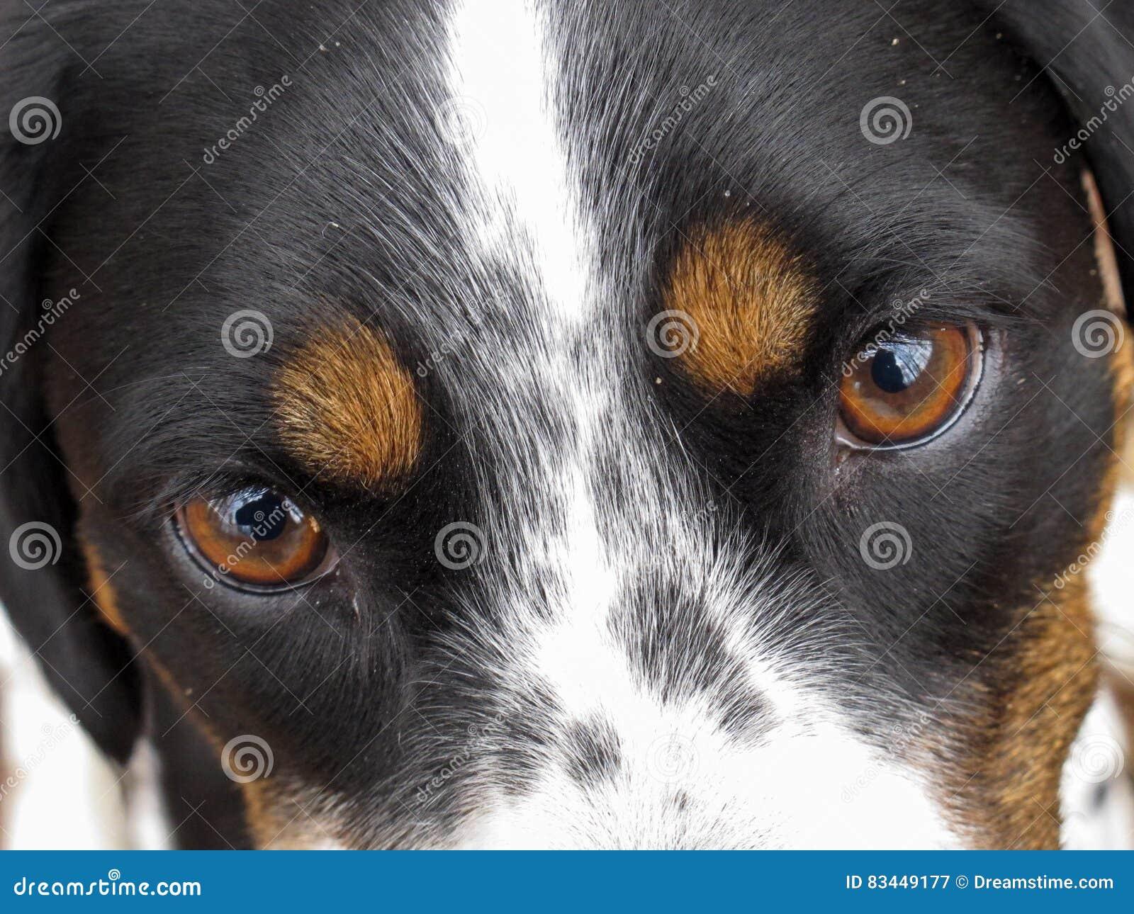 La cara de un perro tri coloreado, primer de ojos