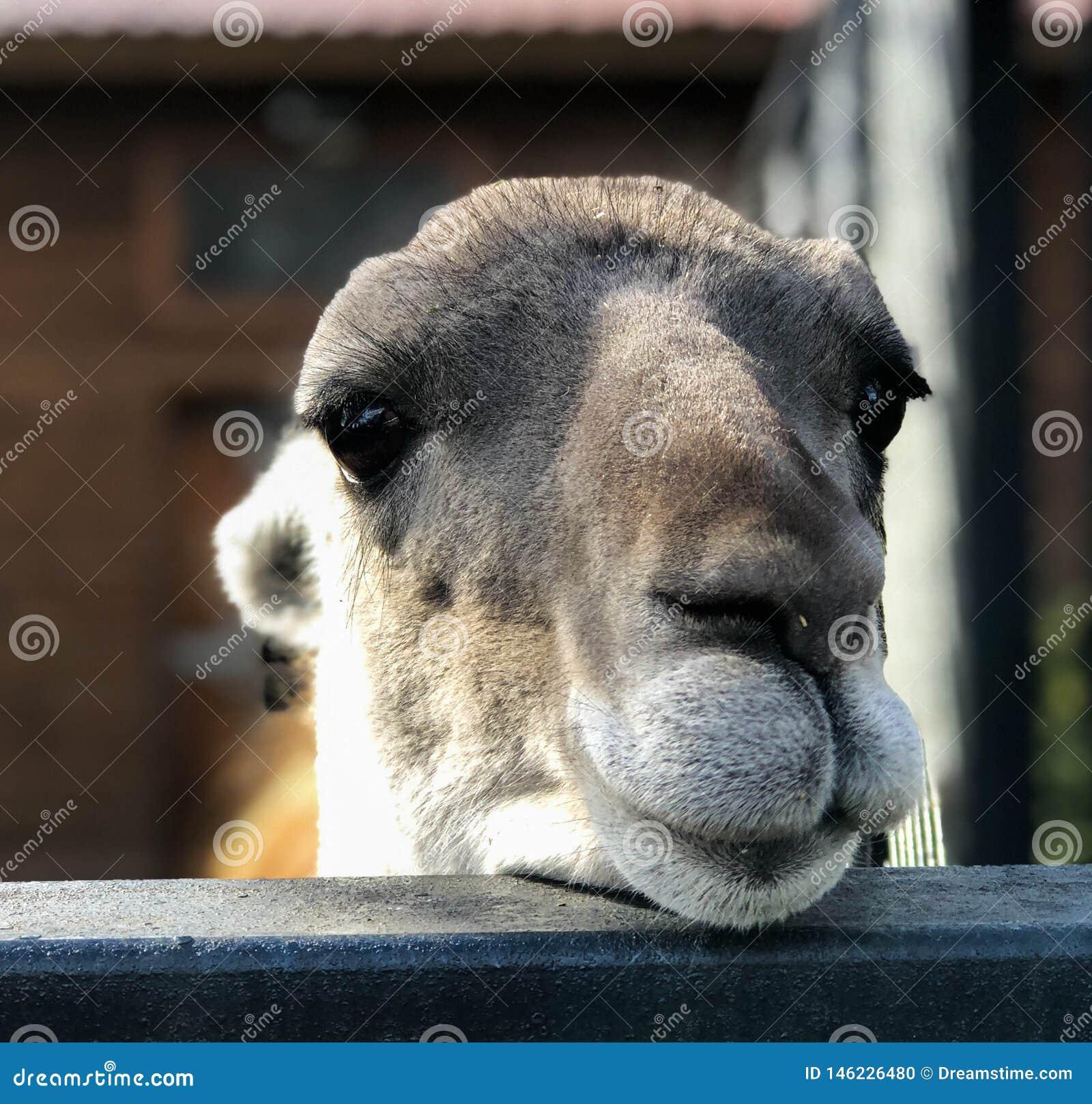 La cara de una llama n de la alpaca