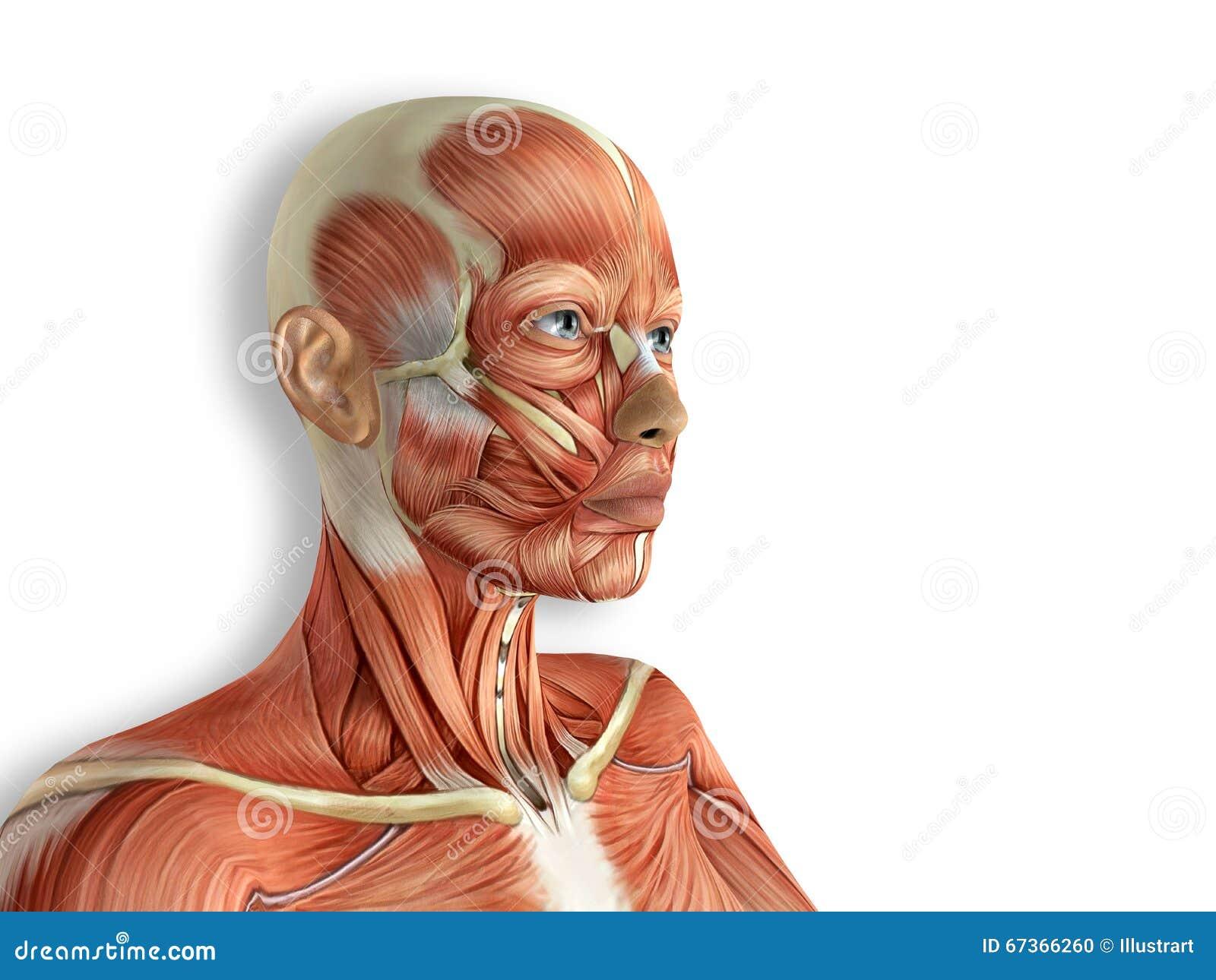 La Cara Femenina Muscles La Anatomía Stock de ilustración ...