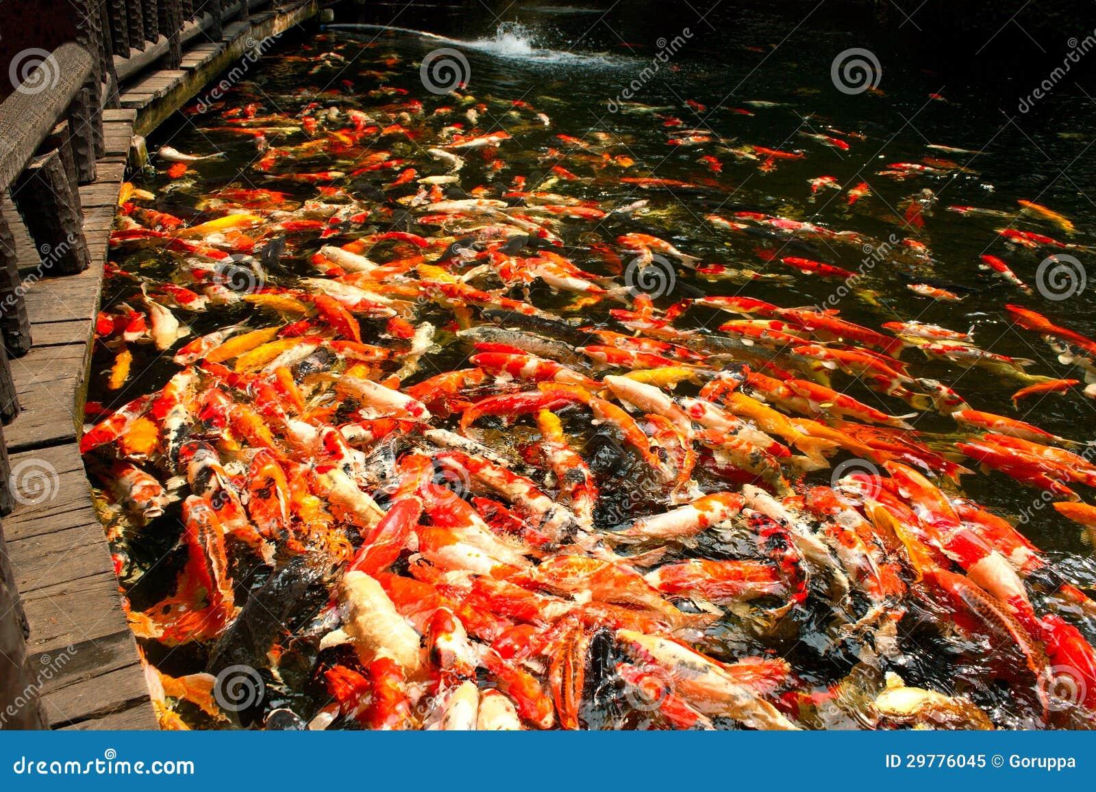 Pescados de Koi en la charca en el jardín