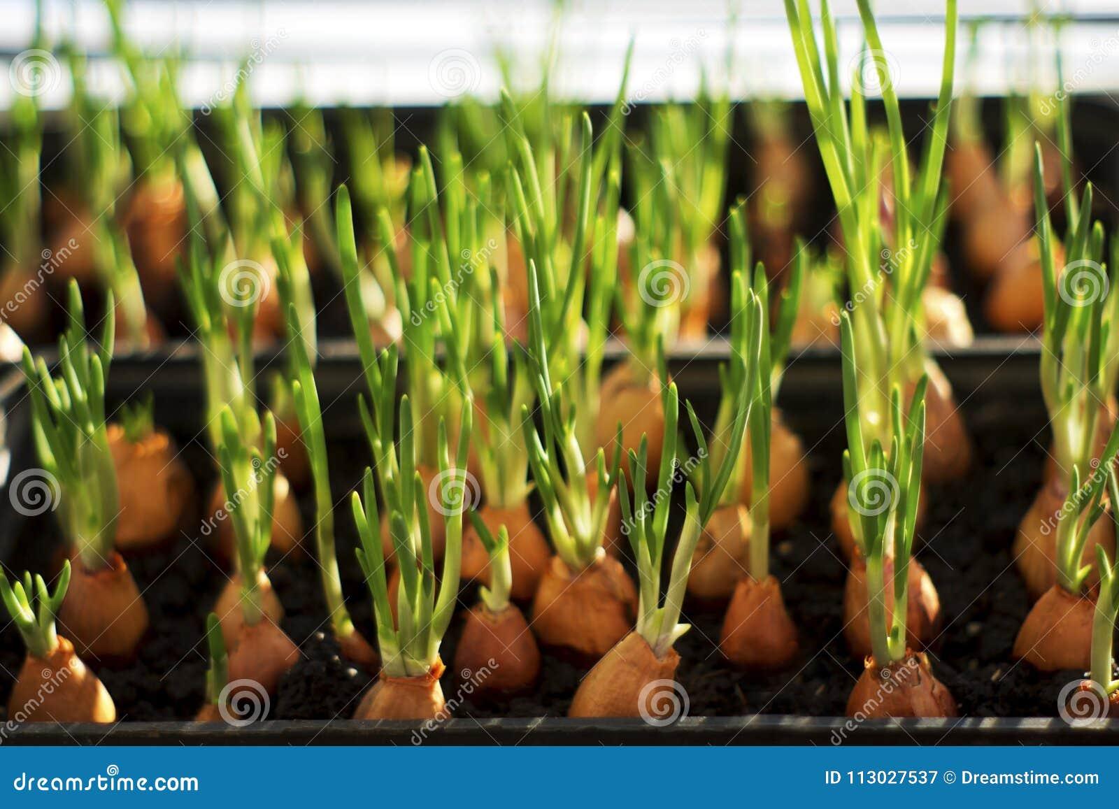 La cebolla joven verde está creciendo