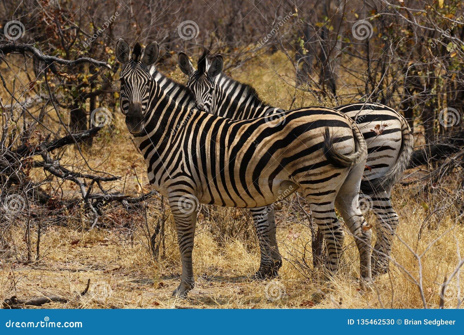 La cebra de Burchell hermoso en los llanos africanos