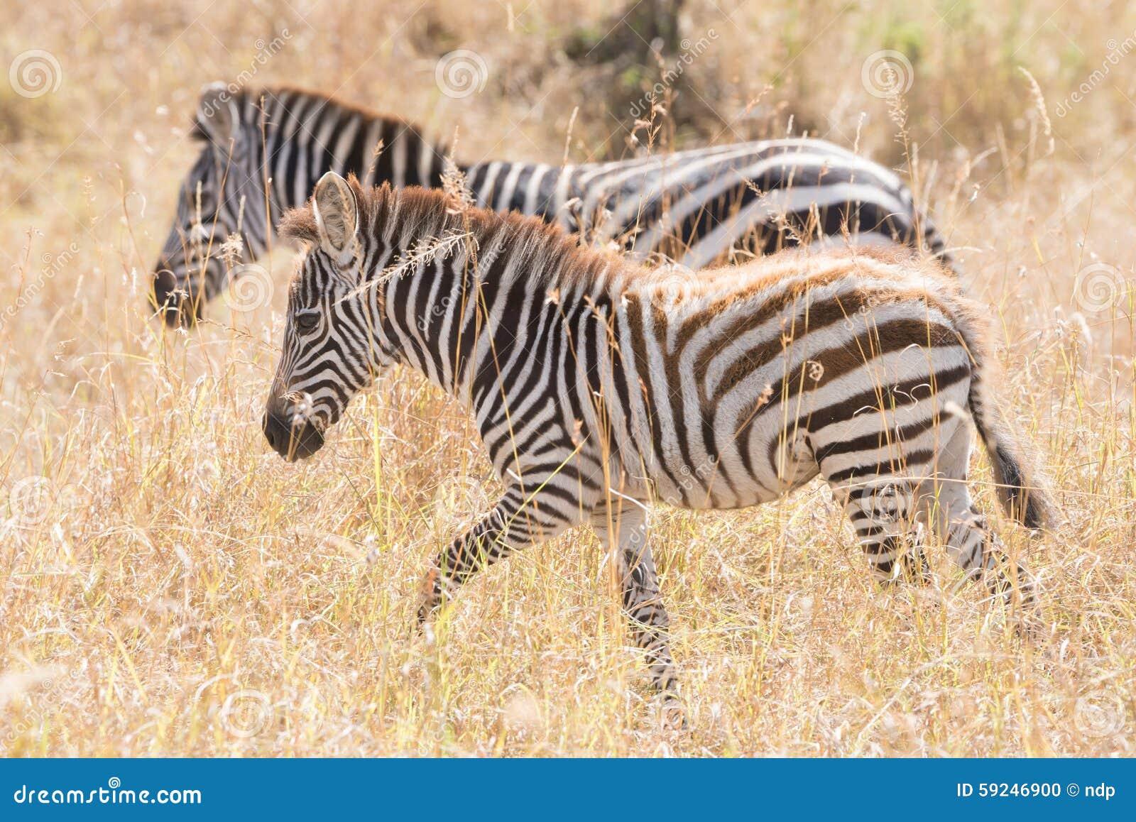 La cebra y el potro caminan de lado a lado en sabana