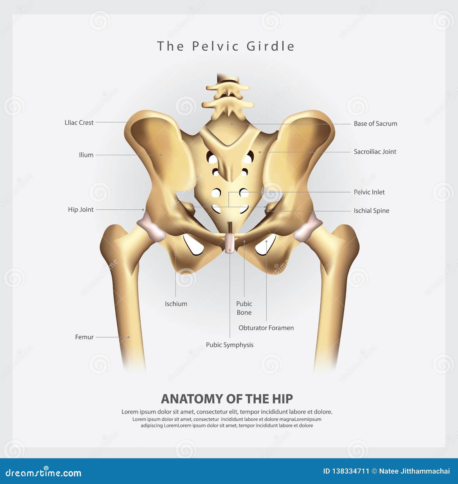 La ceinture pelvienne de l anatomie humaine d os de hanche