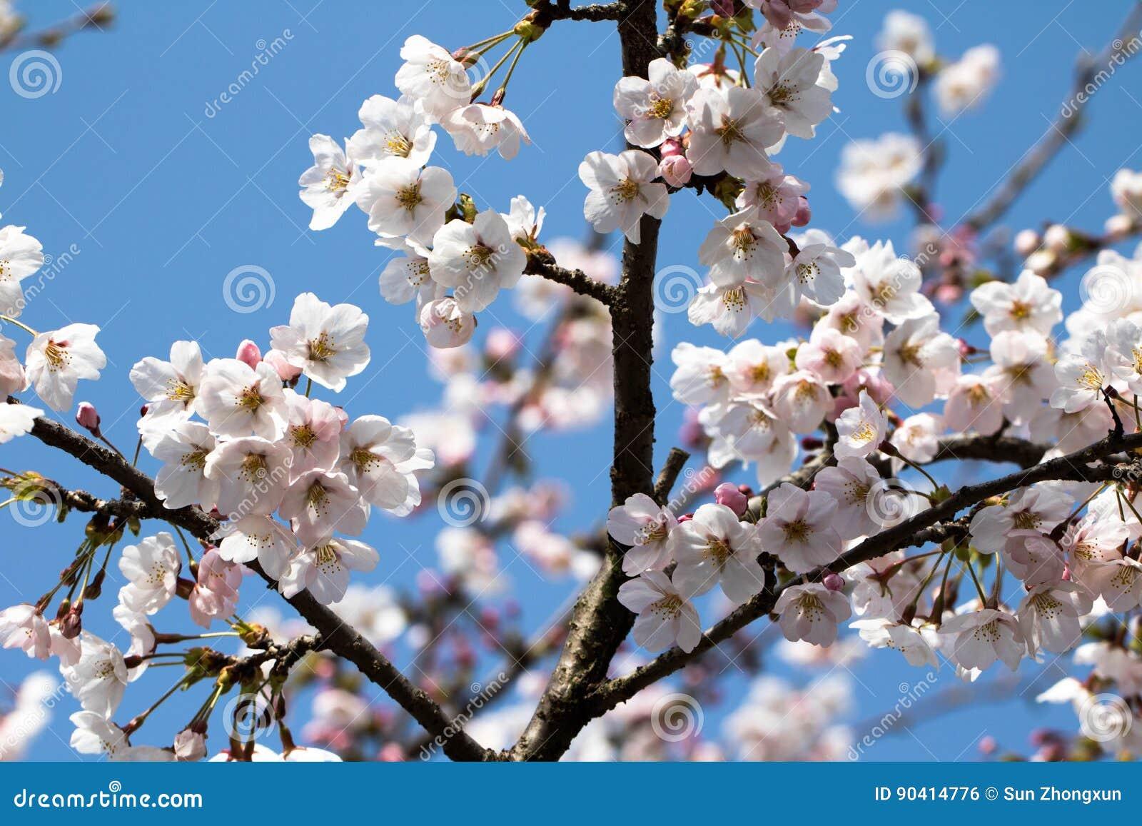 La cereza de la primavera le gusta nieve