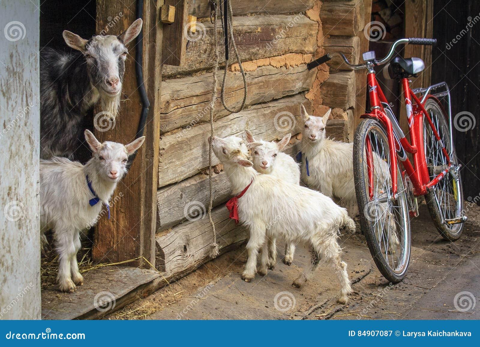 La chèvre et l enfant quatre