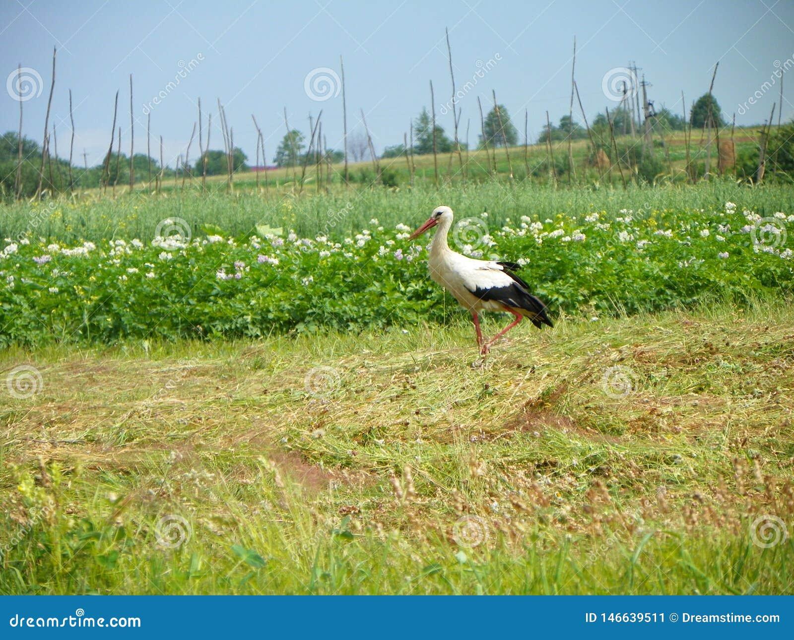 La cigogne d oiseau marche sur les gisements de pomme de terre