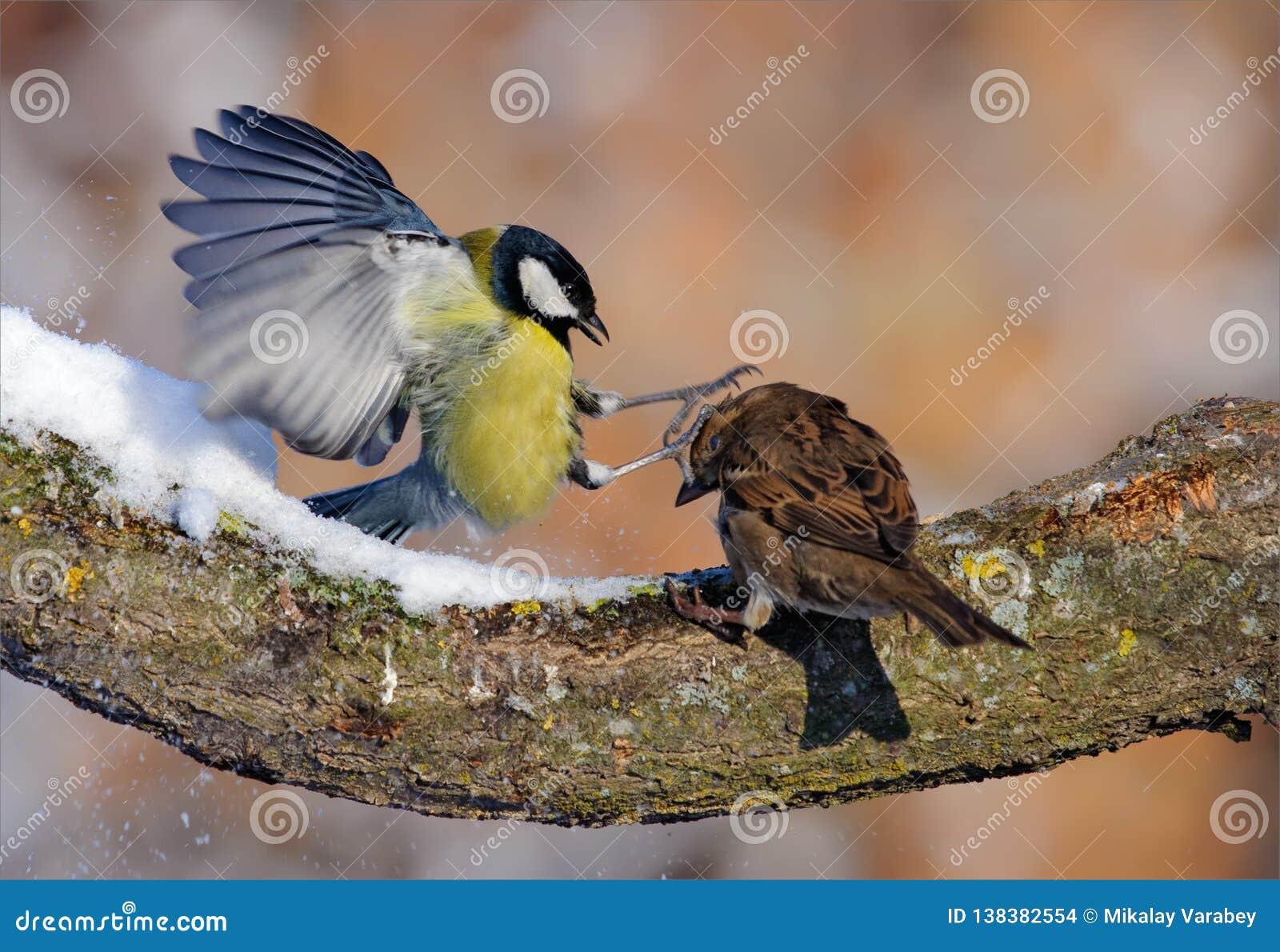 La cinciallegra combatte il passero nell inverno