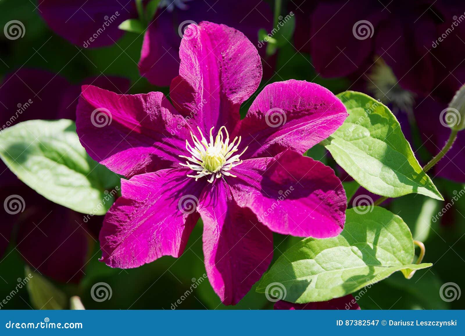 La clématite pourpre foncée fleurit la floraison dans le jardin au soleil