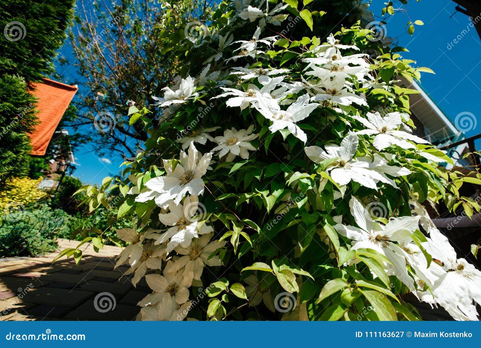 Come Recintare Un Giardino la clematide fiorisce completamente coprendo un giardino