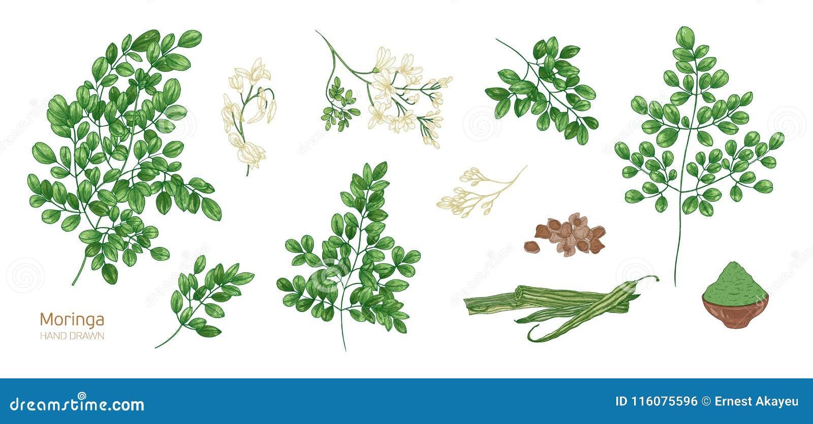 La Colección De Dibujos Botánicos Detallados Elegantes De La