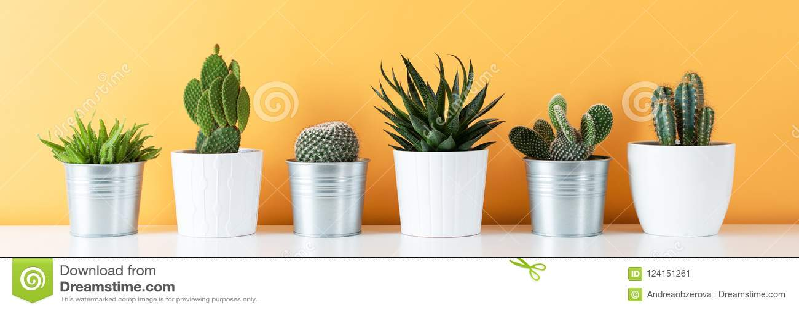 La collection de divers cactus mis en pot et de plantes succulentes sur l étagère blanche contre le jaune chaud a coloré le mur L