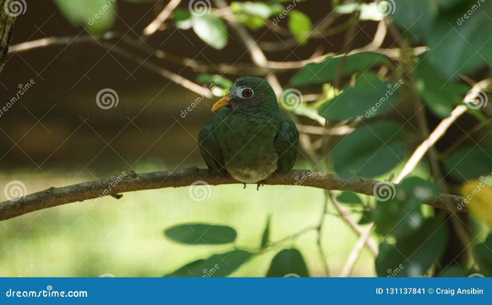 La colombe de fruit de jambu est une colombe colorée médiocre de fruit C est un résident multipliant des espèces en Thaïlande du