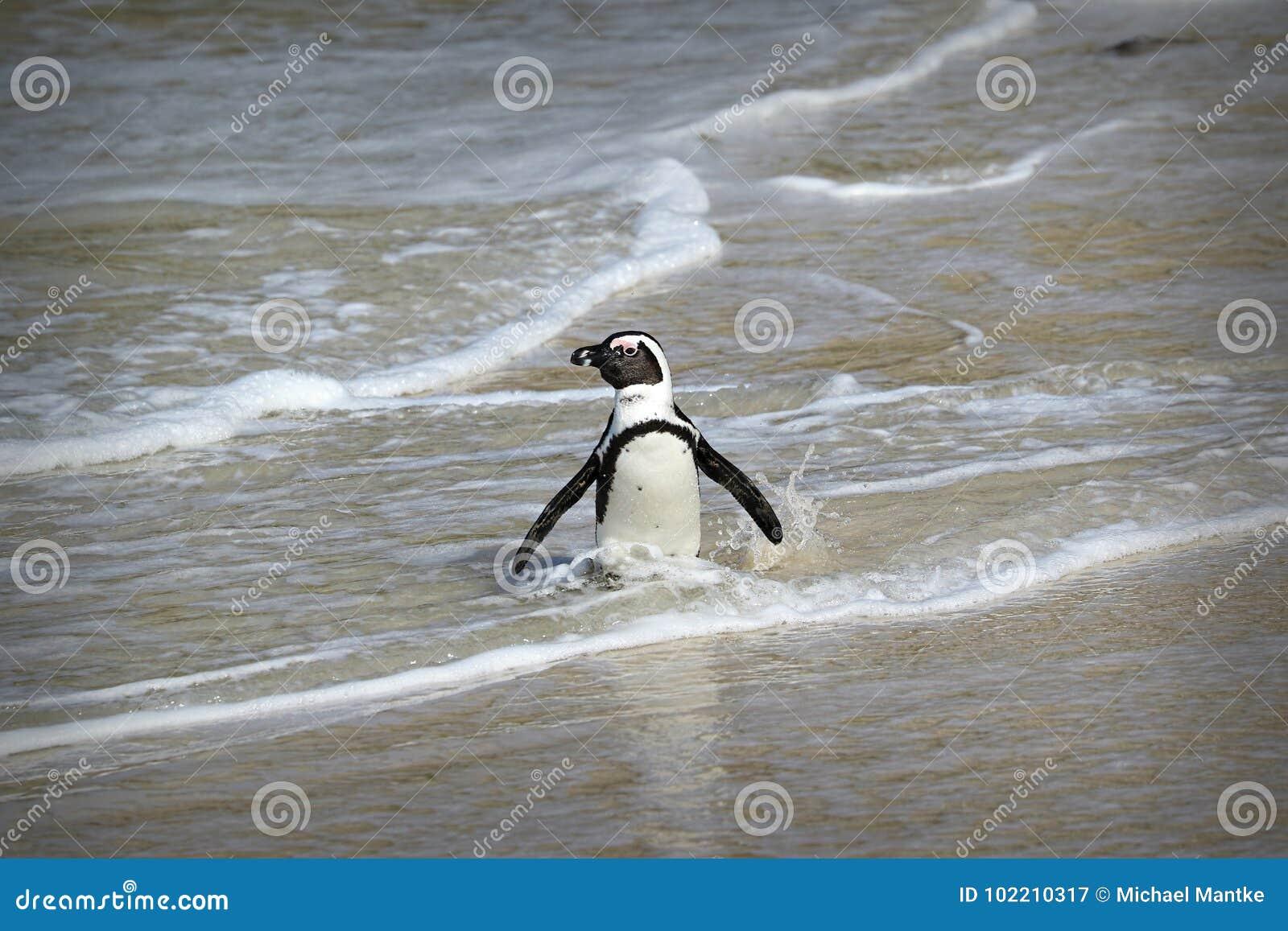 La colonia dei pinguini sui massi tira, città del ` s di Simon vicino a Cape Town, Sudafrica