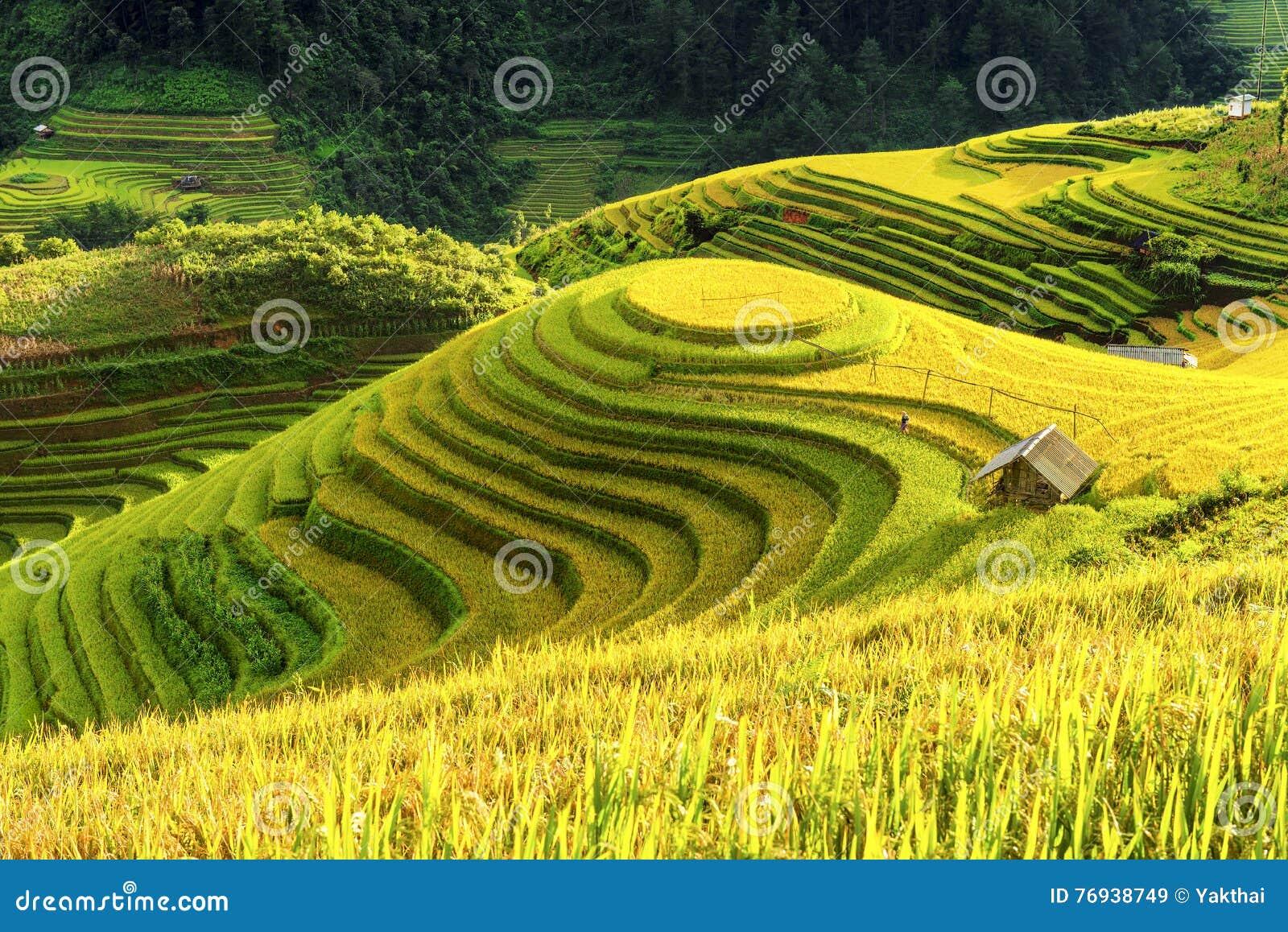 La Coltivazione Nelle Risaie Del Vietnam A Terrazze Prepara Il ...
