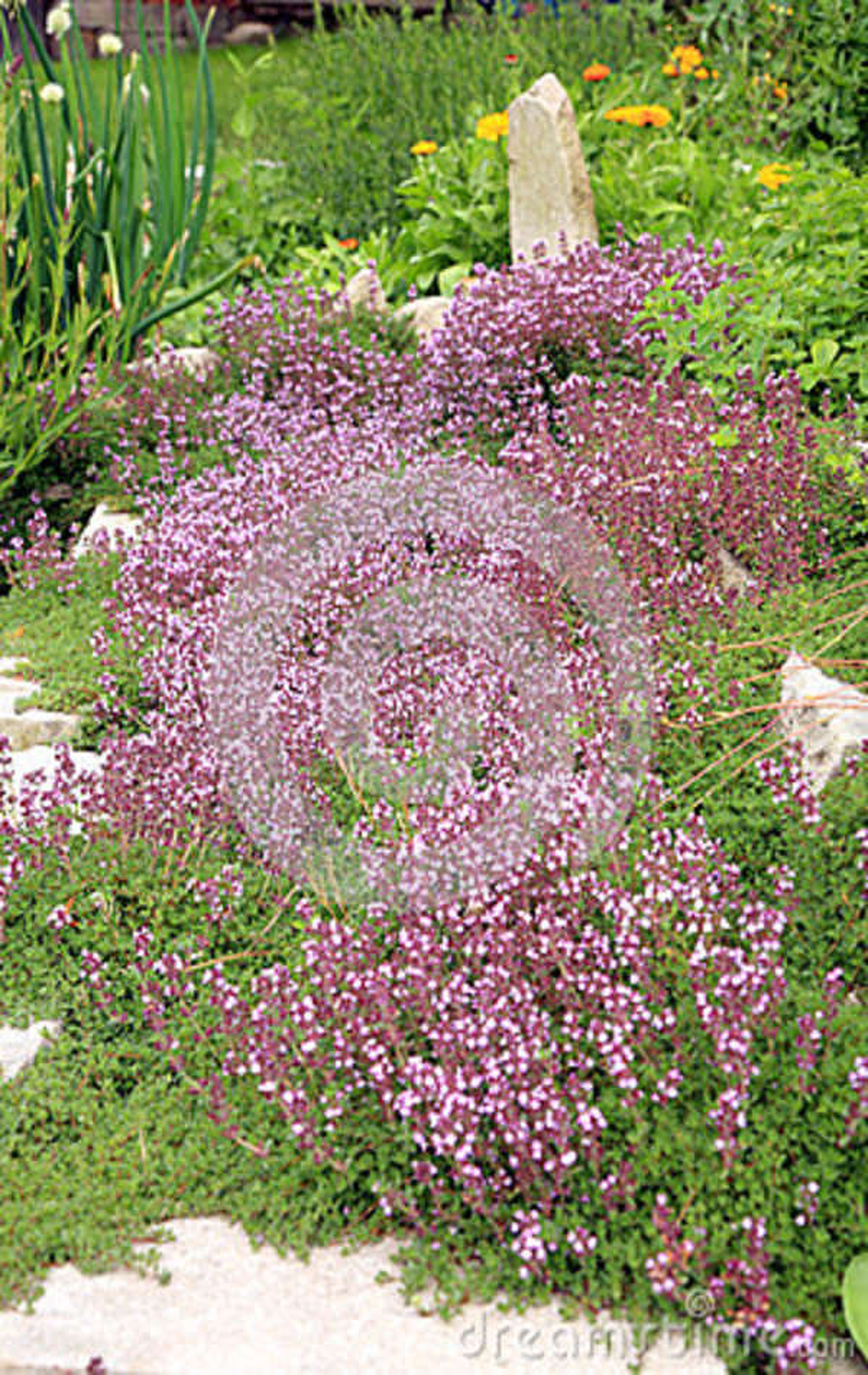 La composizione nel giardino timo di breckland fotografia - Composizione giardino ...