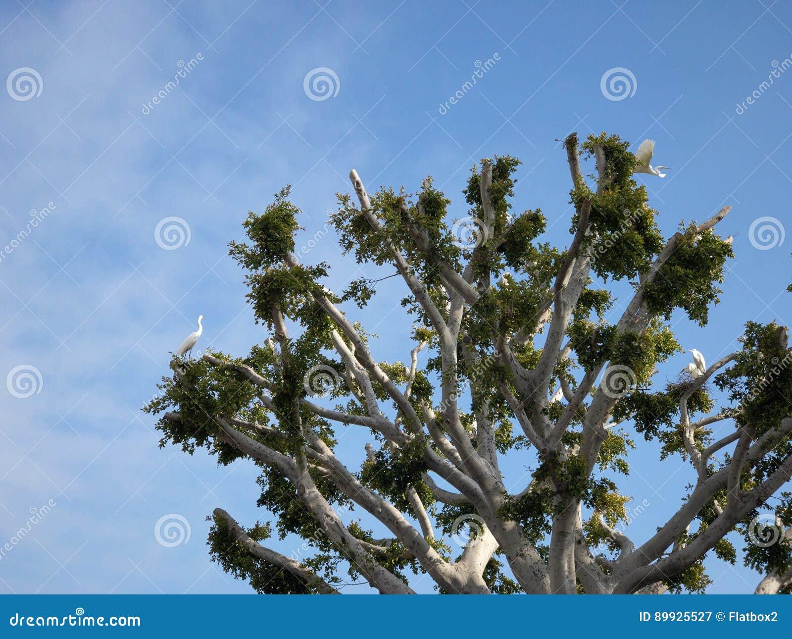 La construction de cigognes niche sur un arbre dans Malibu