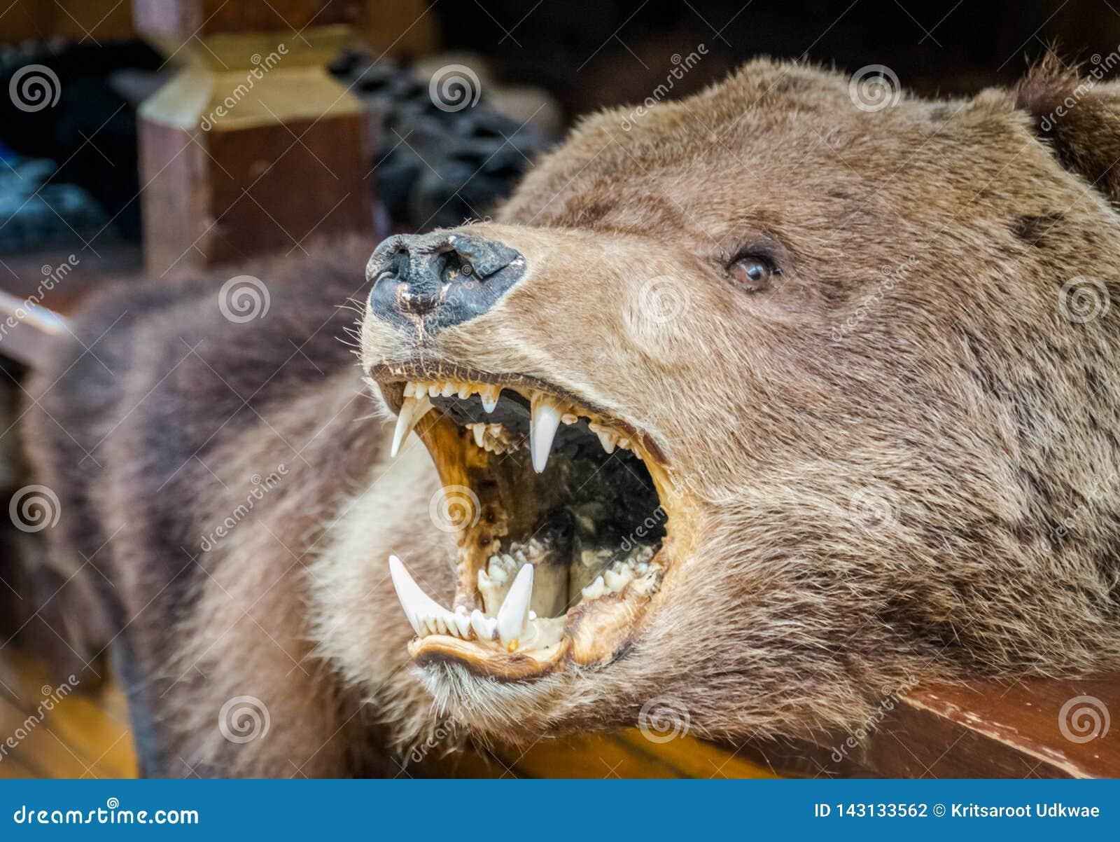 La coperta della pelle dell orso bruno con la testa dei its