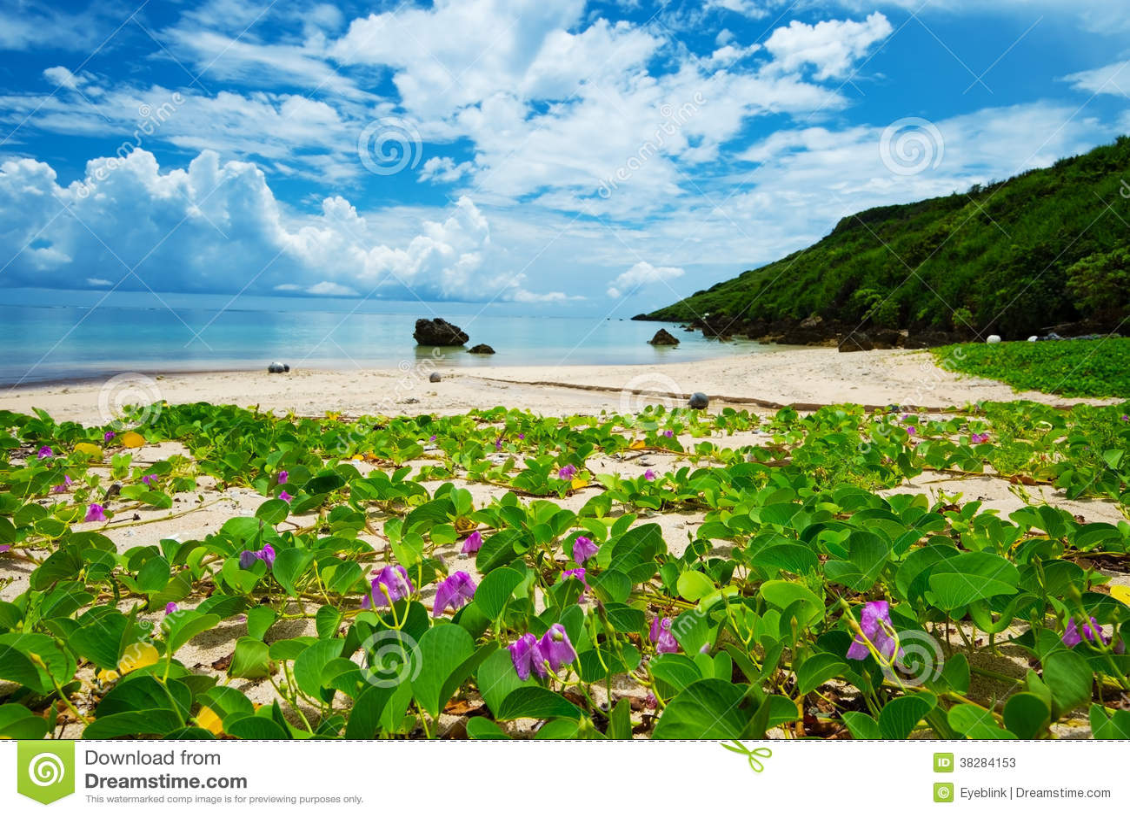 La correhuela de la playa en el pes-caprae del Costa-Ipomoea de ARAGUSUKU, O