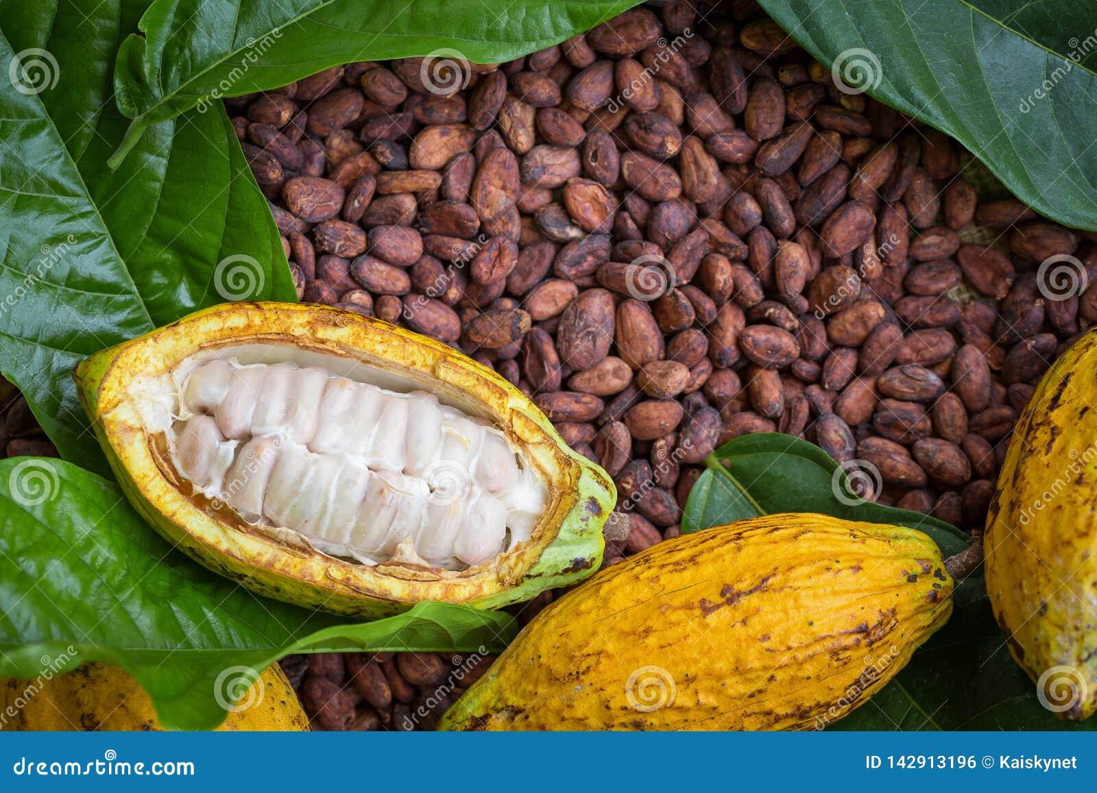 La cosse et les haricots mûrs de cacao ont installé sur le fond en bois rustique