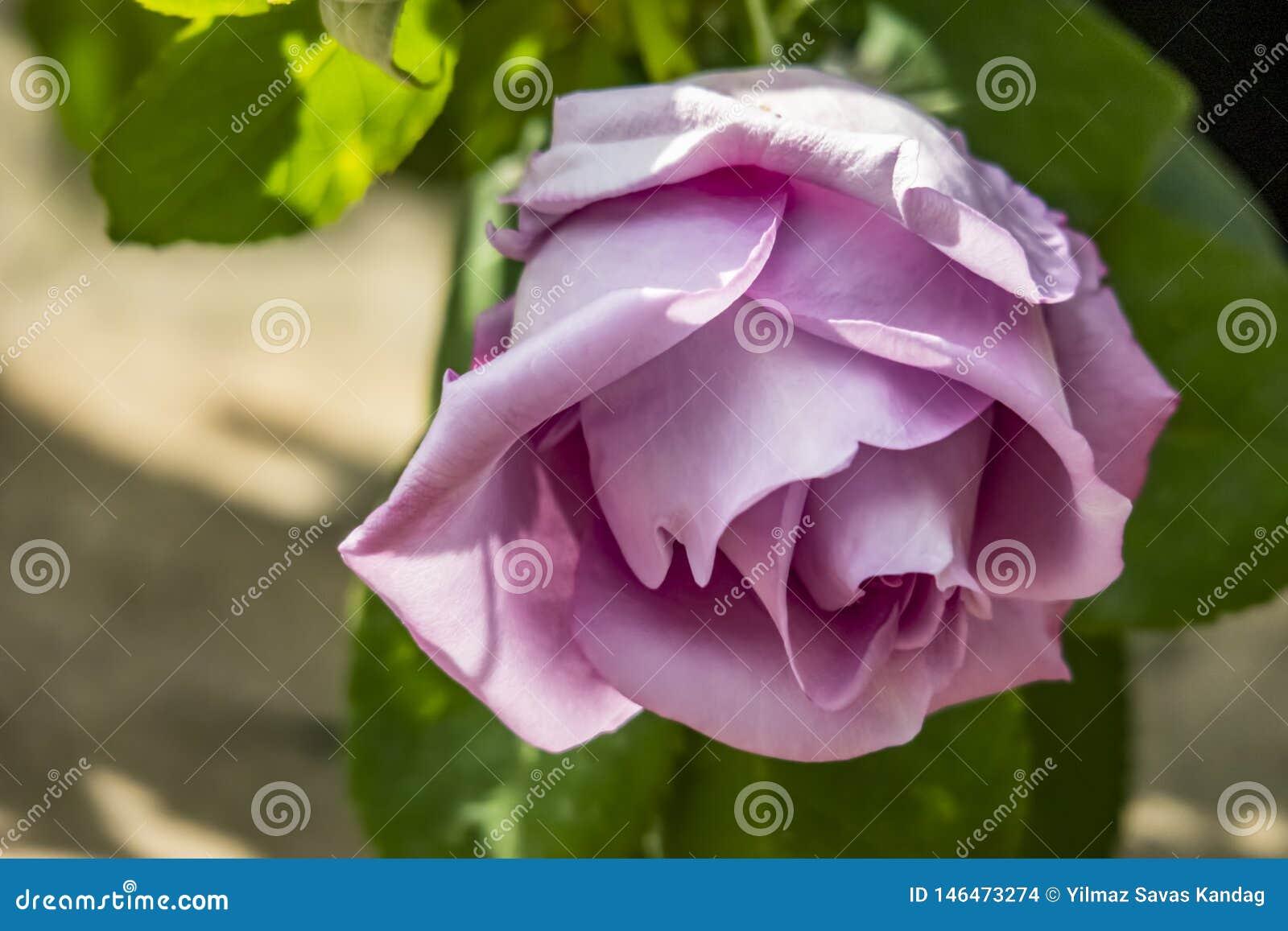 La couleur lilas a monté en nature