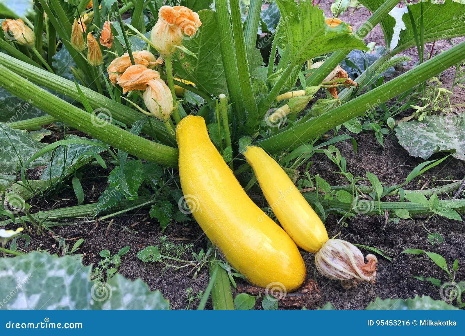 La courgette d or mûrissent dans le jardin Élevage organique des légumes