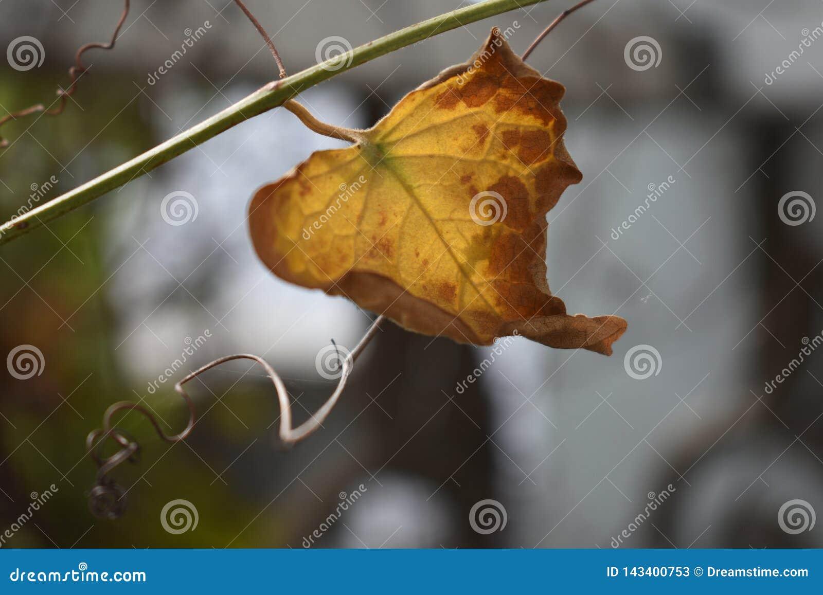 La dernière feuille sur une branche