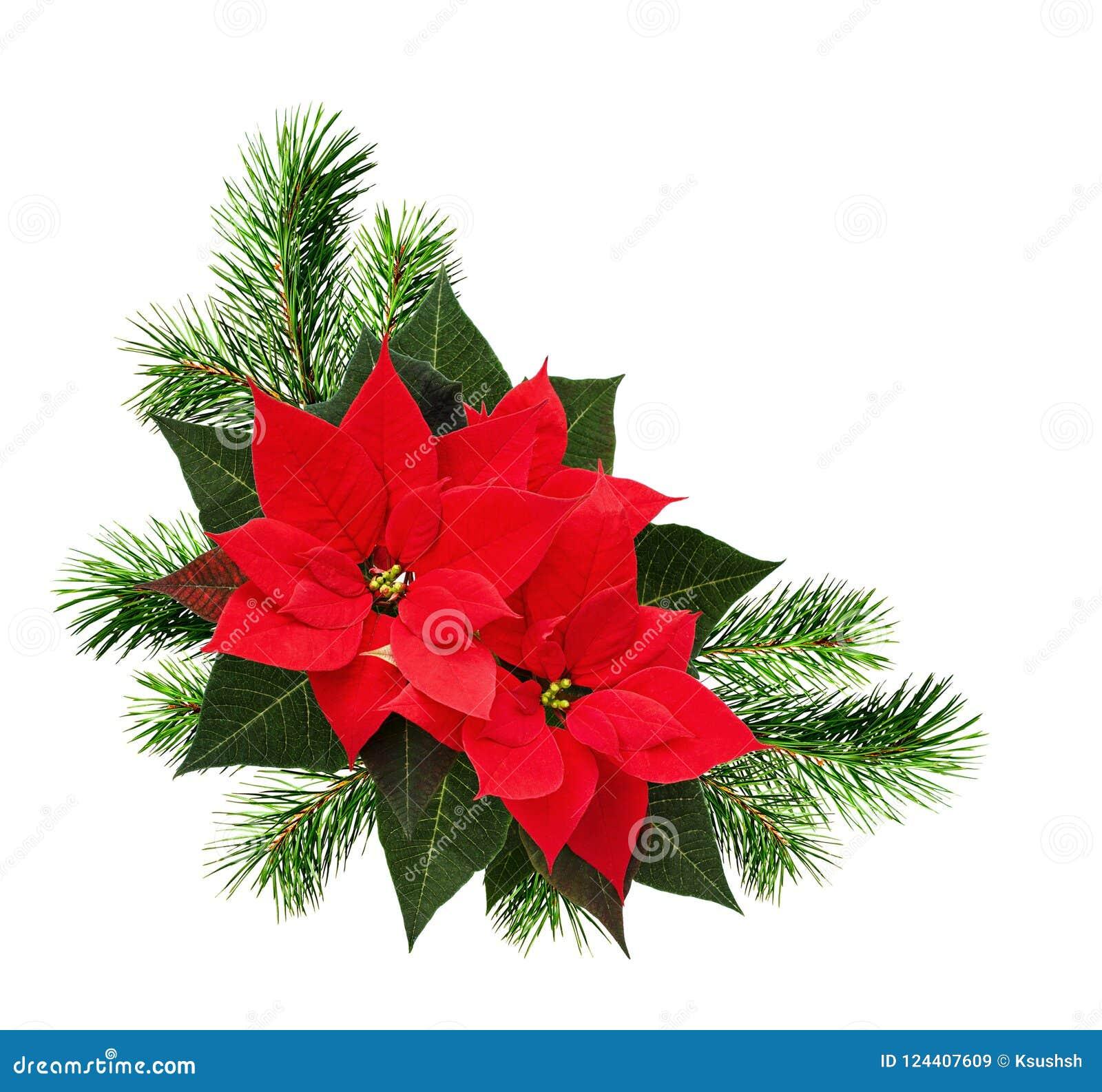 La disposition faisante le coin de Noël avec des brindilles de pin et la poinsettia coulent