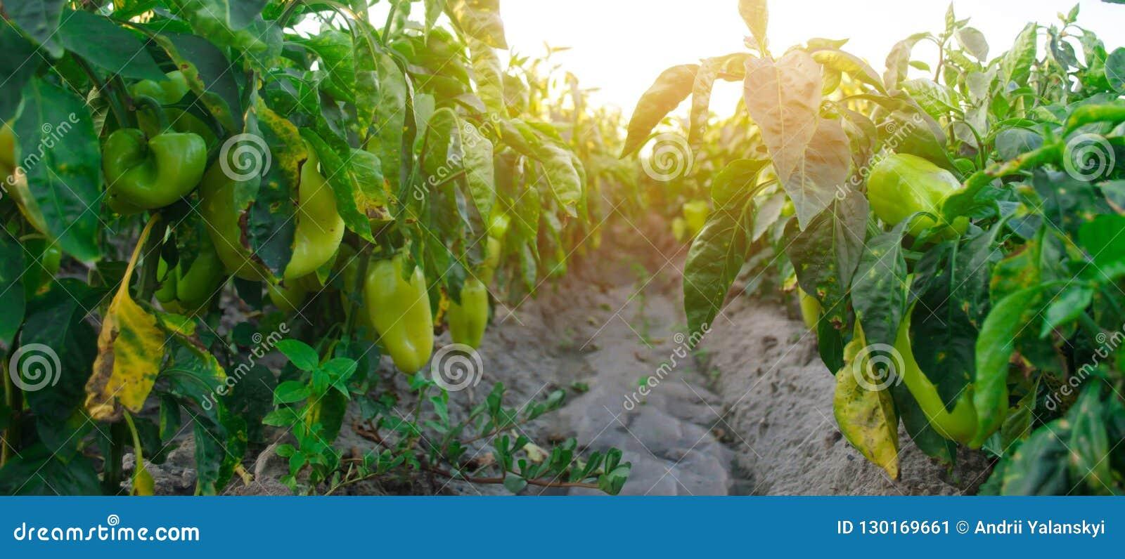 La enfermedad de la pimienta es causada por el virus de Phytophthora Infestans AG