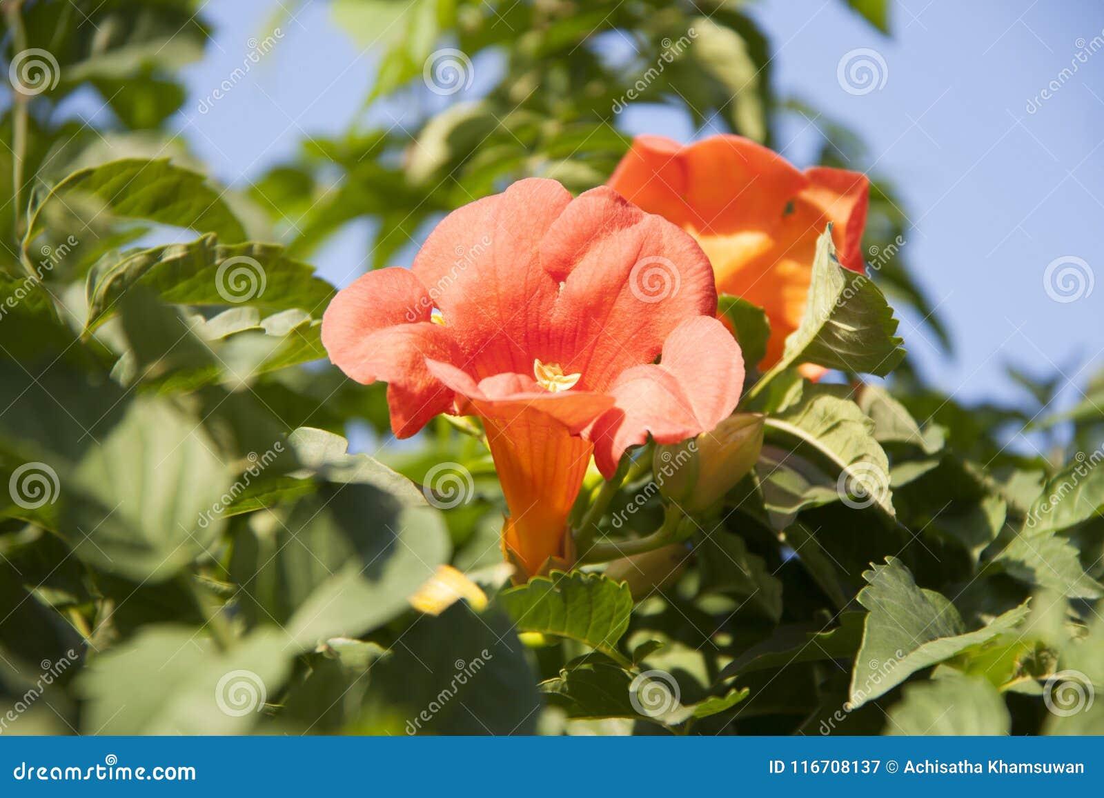 La enredadera de trompeta es una especie de planta floreciente del Bignoniaceae de la familia