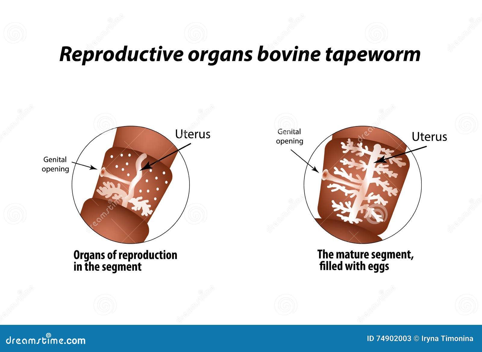 La Estructura De Los órganos Reproductivos De La Solitaria Bovina ...