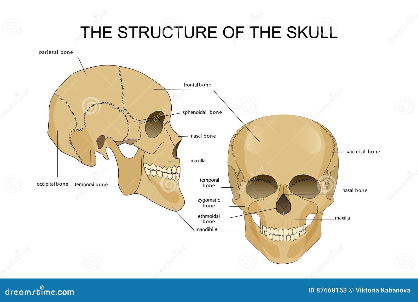 La estructura del cráneo ilustración del vector. Ilustración de ...