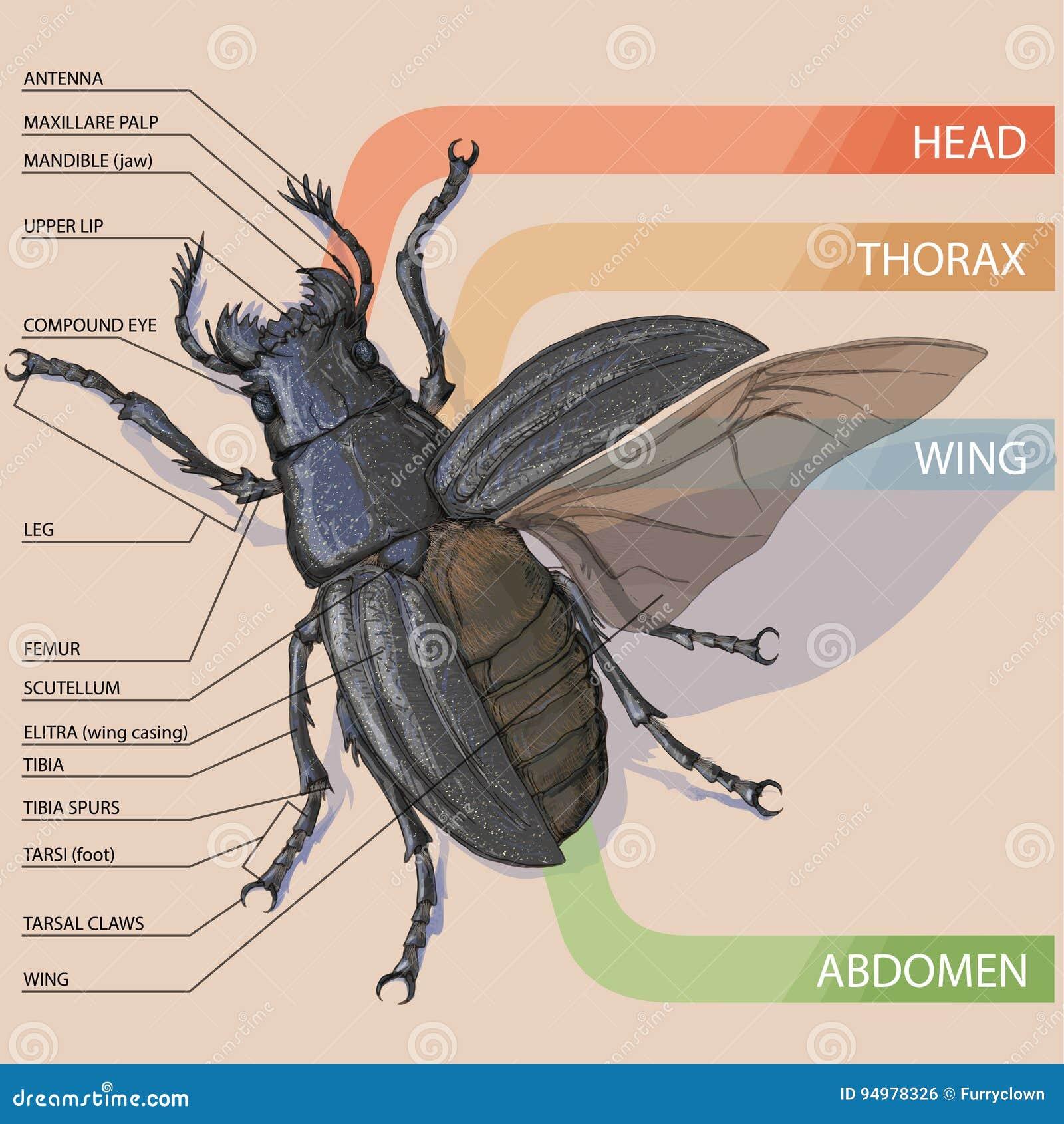 La Estructura Del Escarabajo Diagrama Del Vector Ilustración del ...