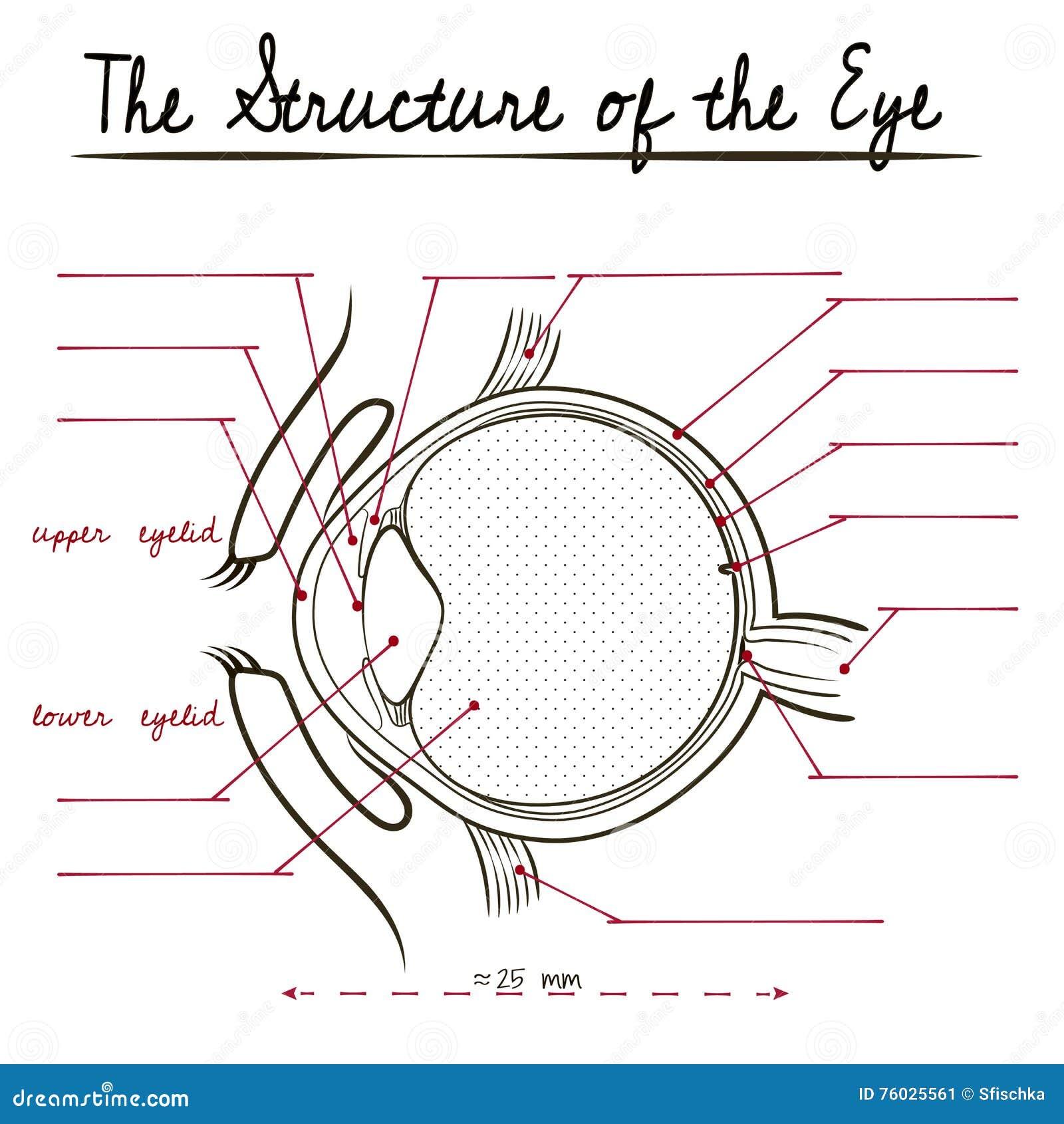 La Estructura Del Ojo Humano Ilustración del Vector - Ilustración de ...