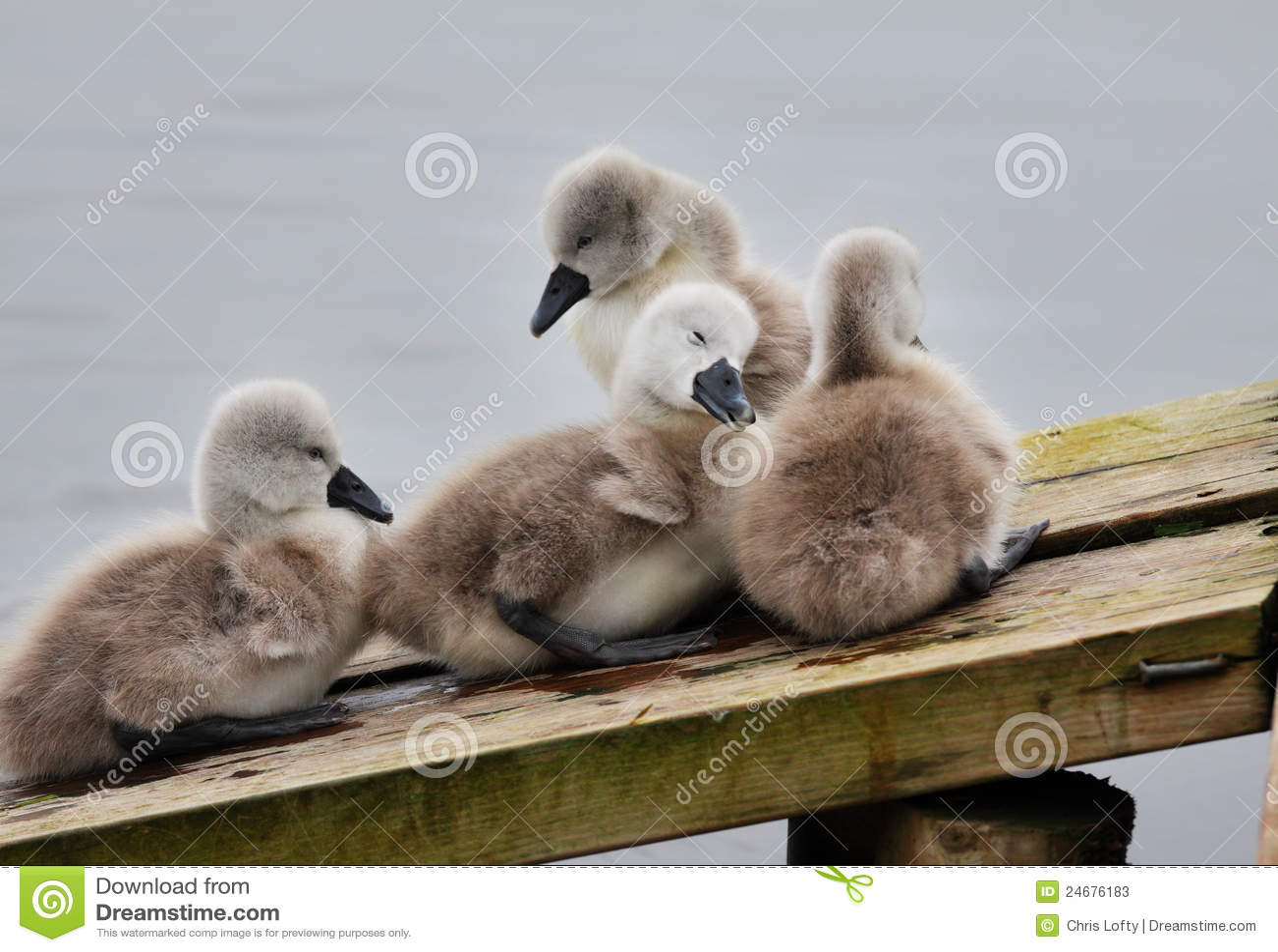 La familia de pollos del cisne amontonó junta